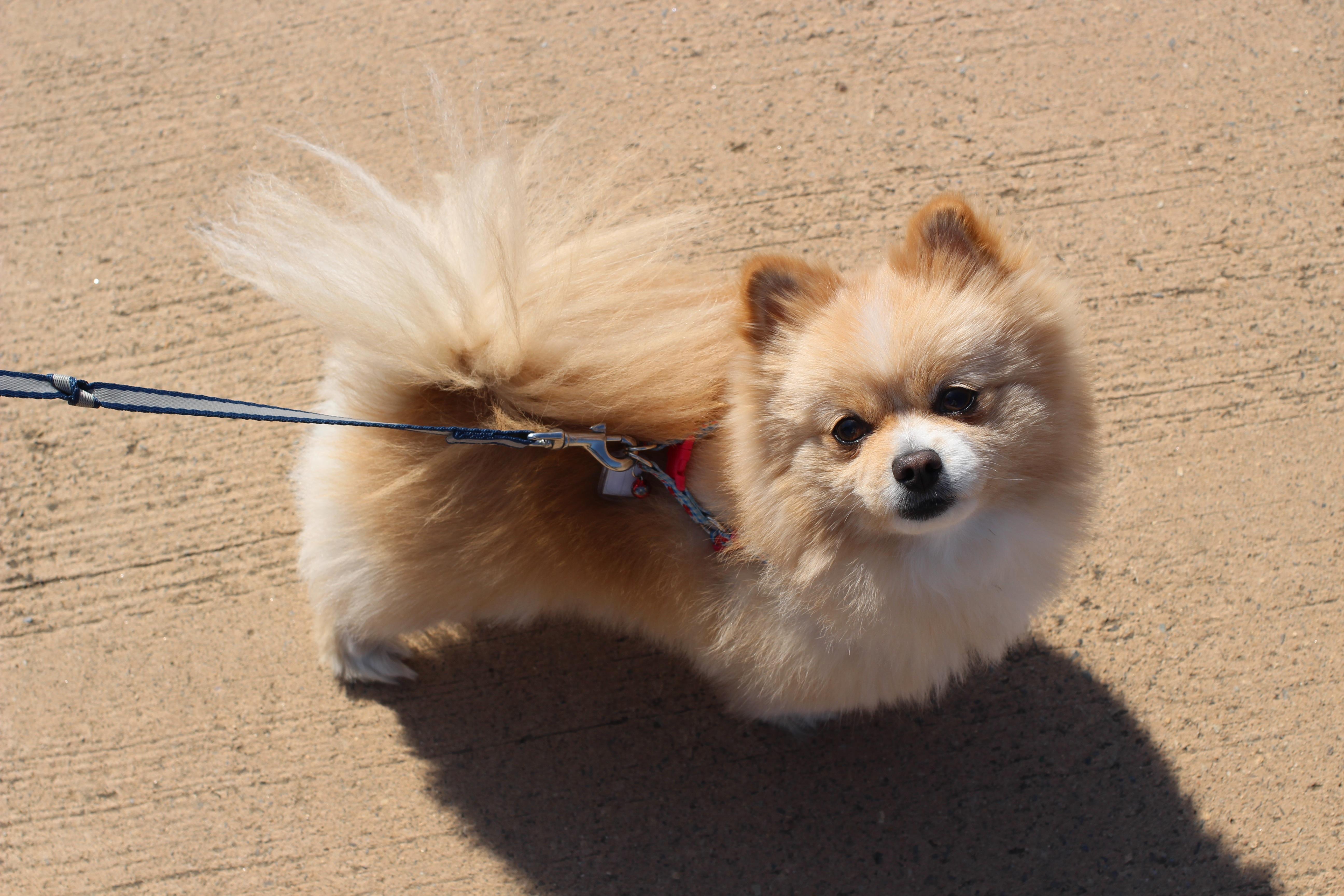 Free Images Puppy Vertebrate Dog Breed Pomeranian Pet Dogs