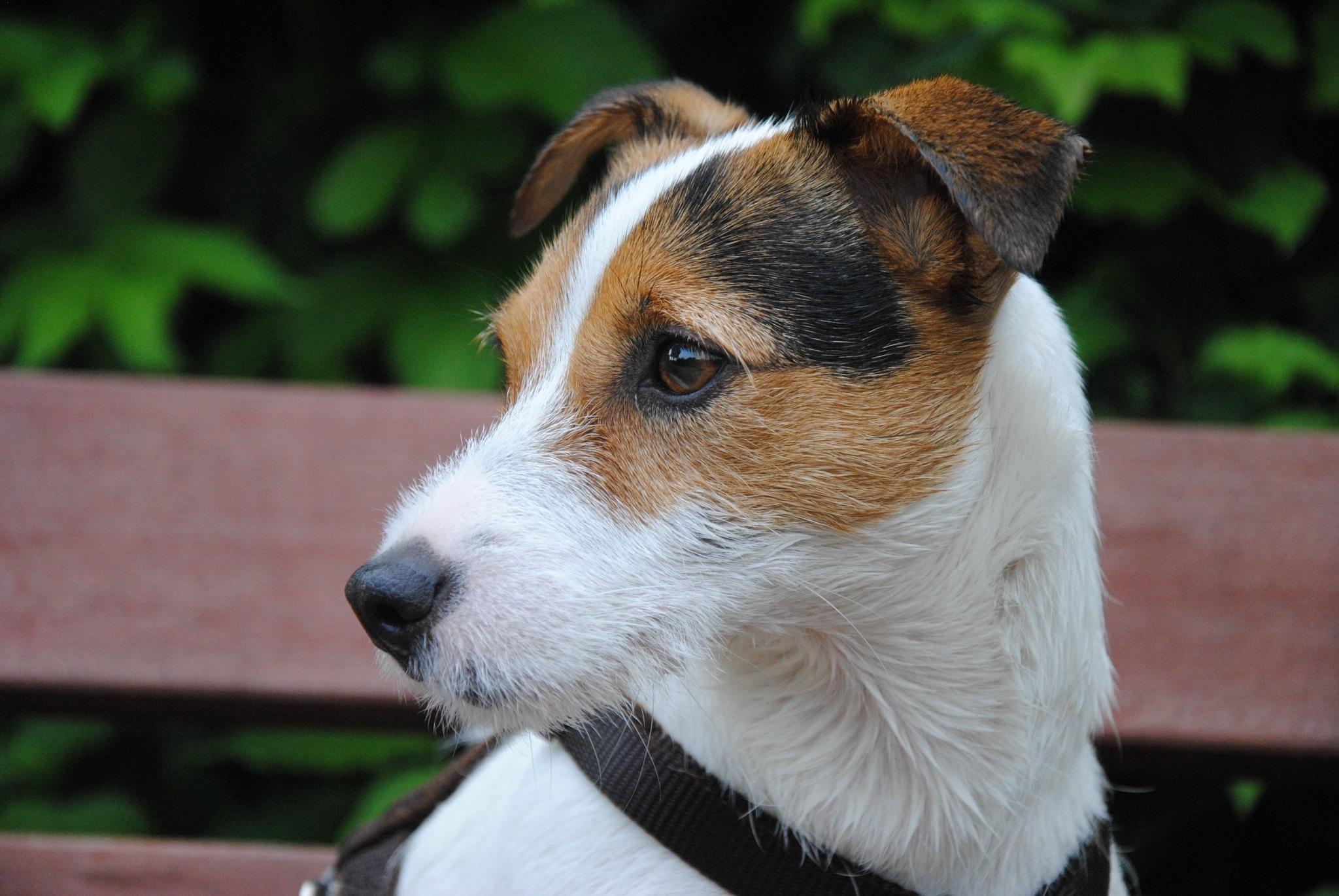 Kostenlose foto : Welpe, Wirbeltier, Hunderasse, Hundekopf ...