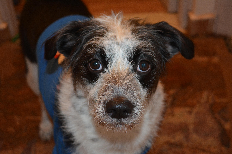 Kostenlose foto : Welpe, Wirbeltier, Hunderasse, Hund wie ...
