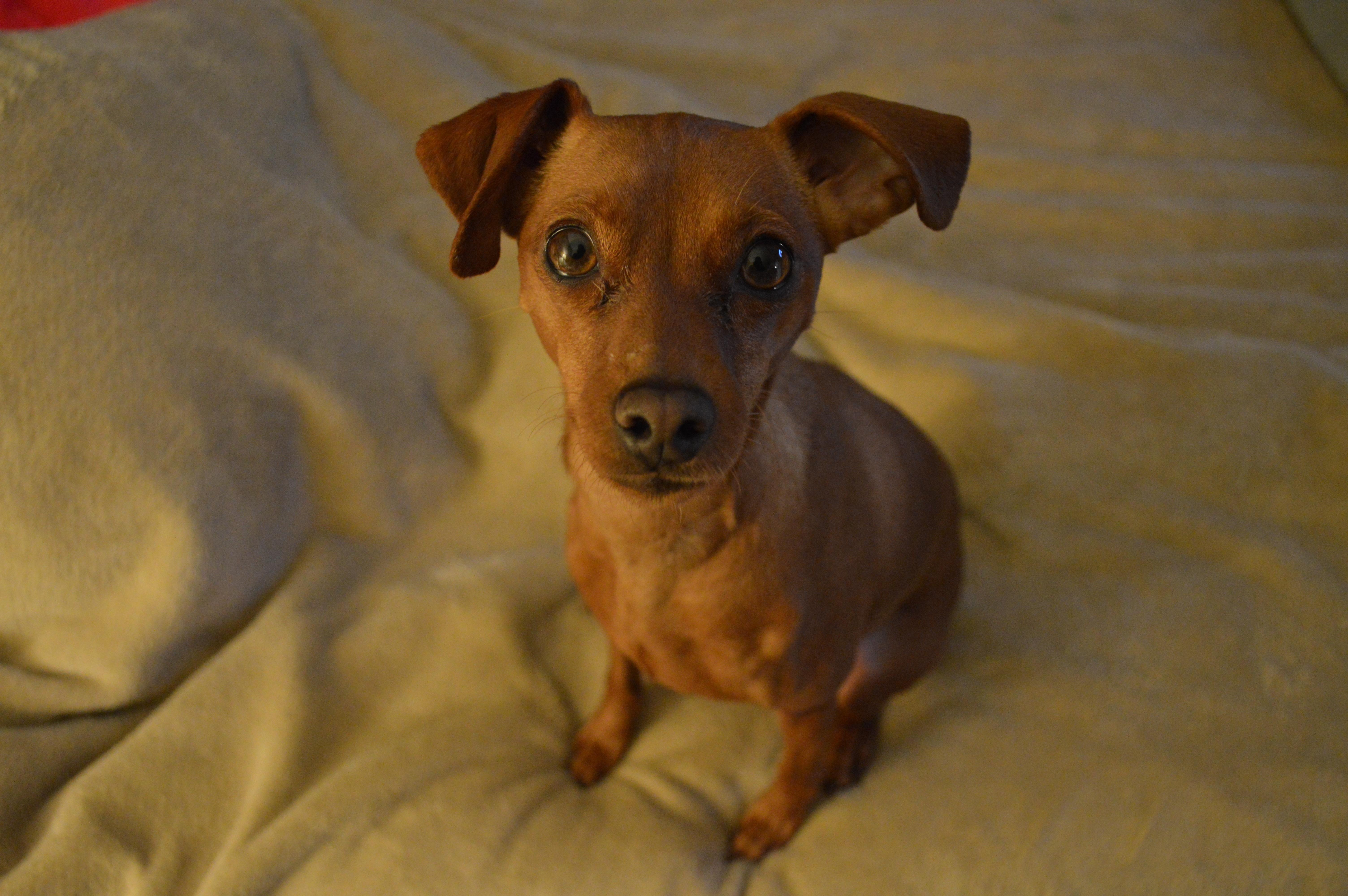 Free Images Puppy Vertebrate Dog Breed Terrier German Pinscher