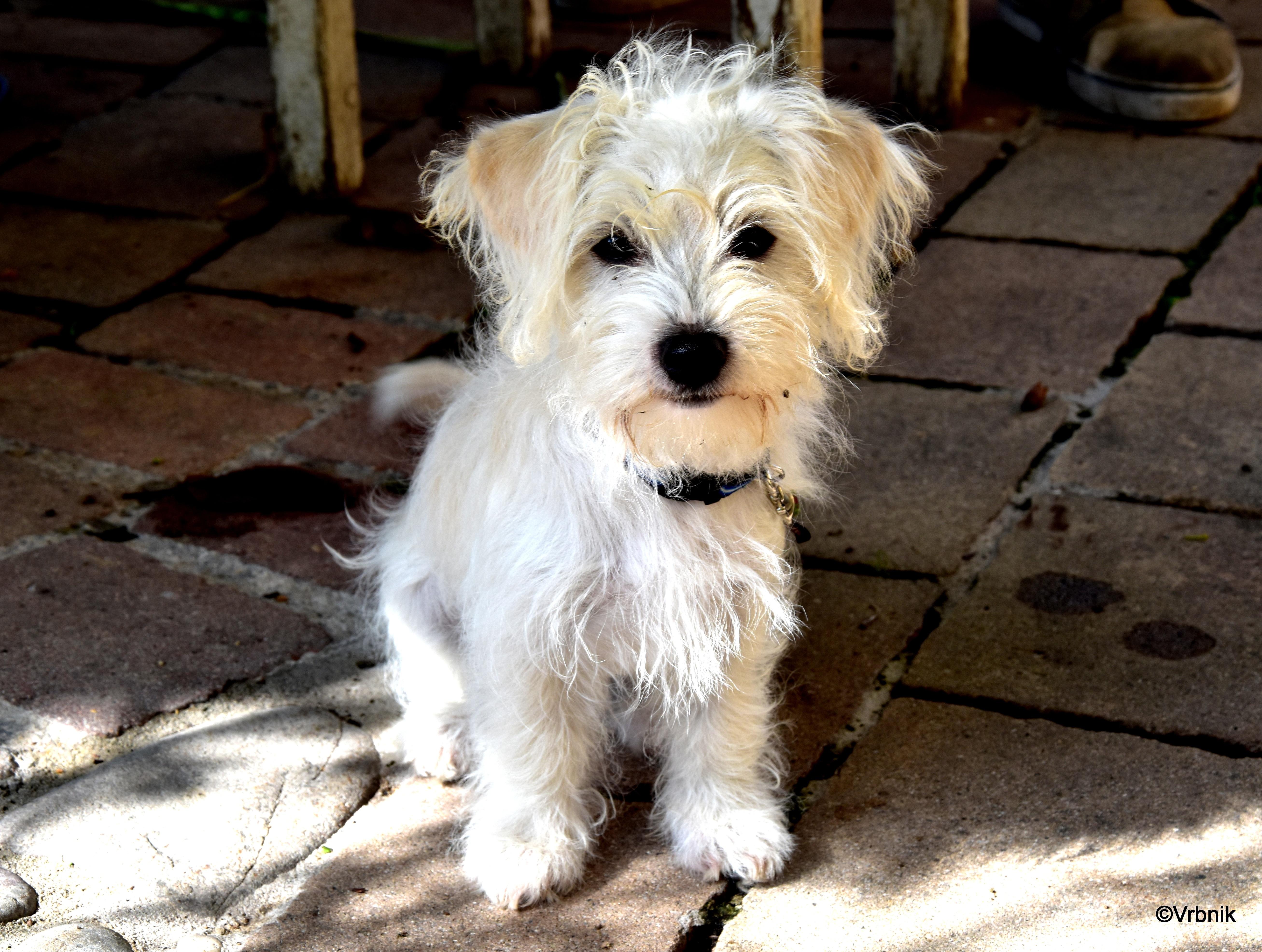 Free Images : puppy, vertebrate, miniature schnauzer, dog breed