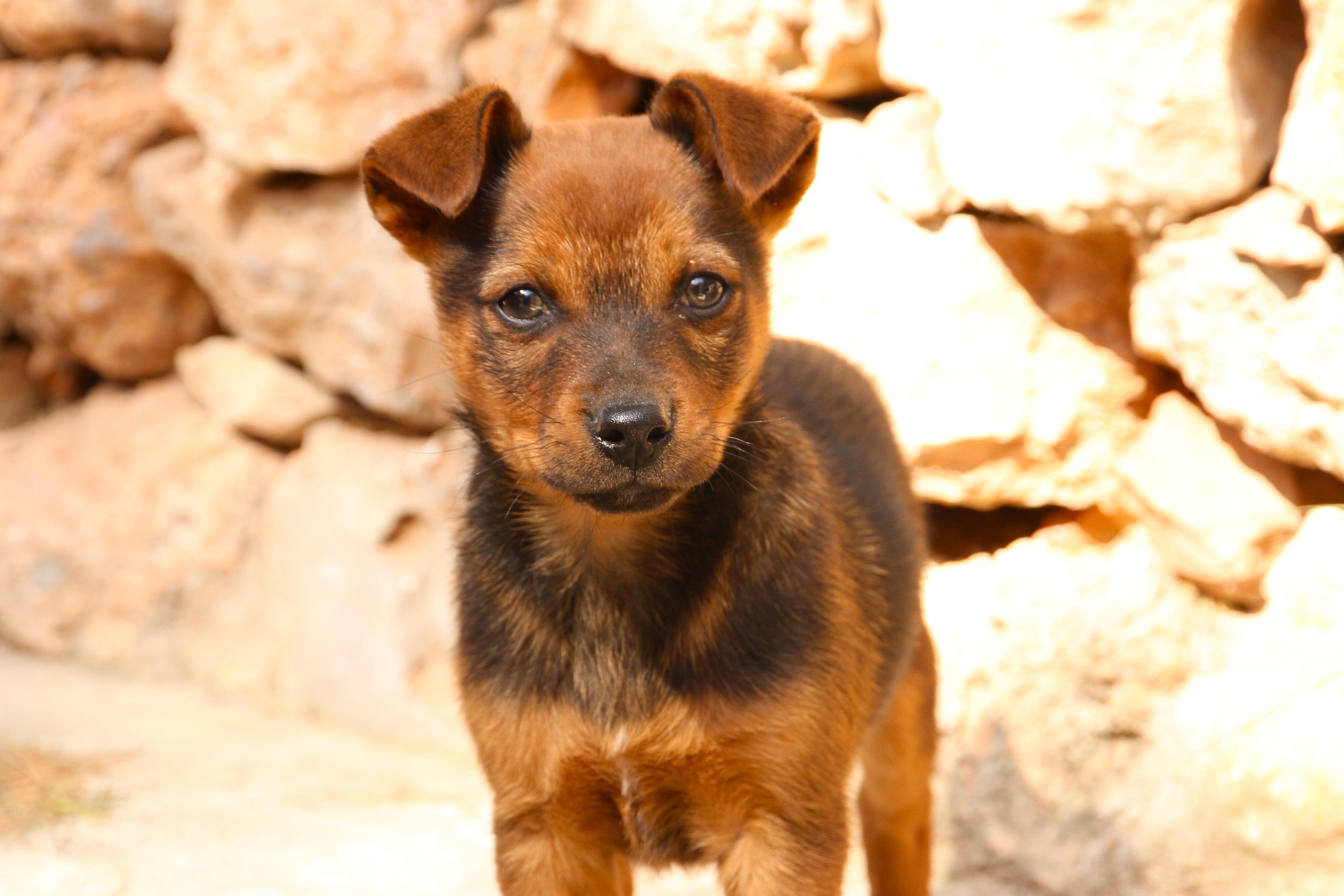 Free Images Puppy Pet Loving Vertebrate Dog Breed German