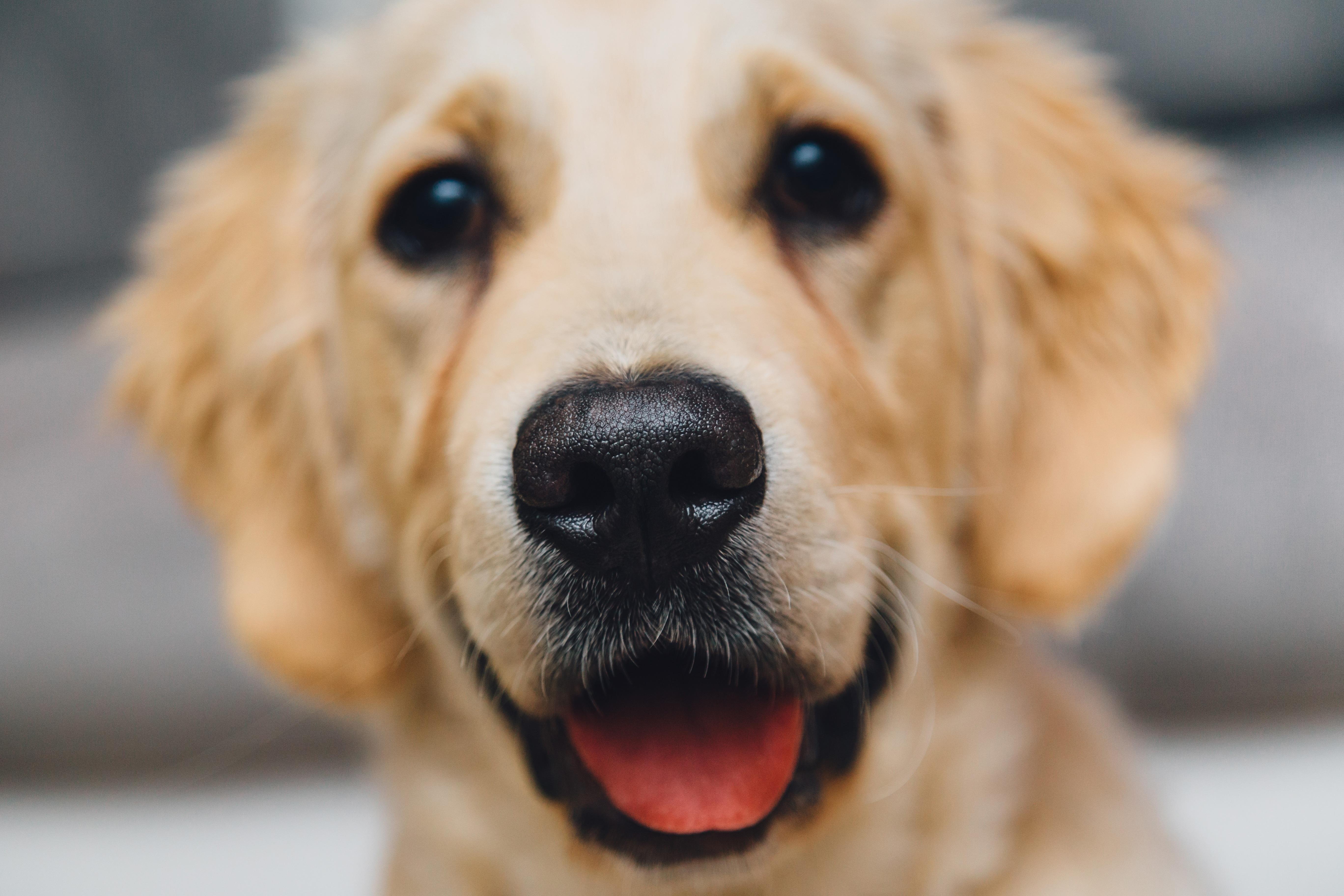 Free Images Pet Nose Golden Retriever Snout Animals