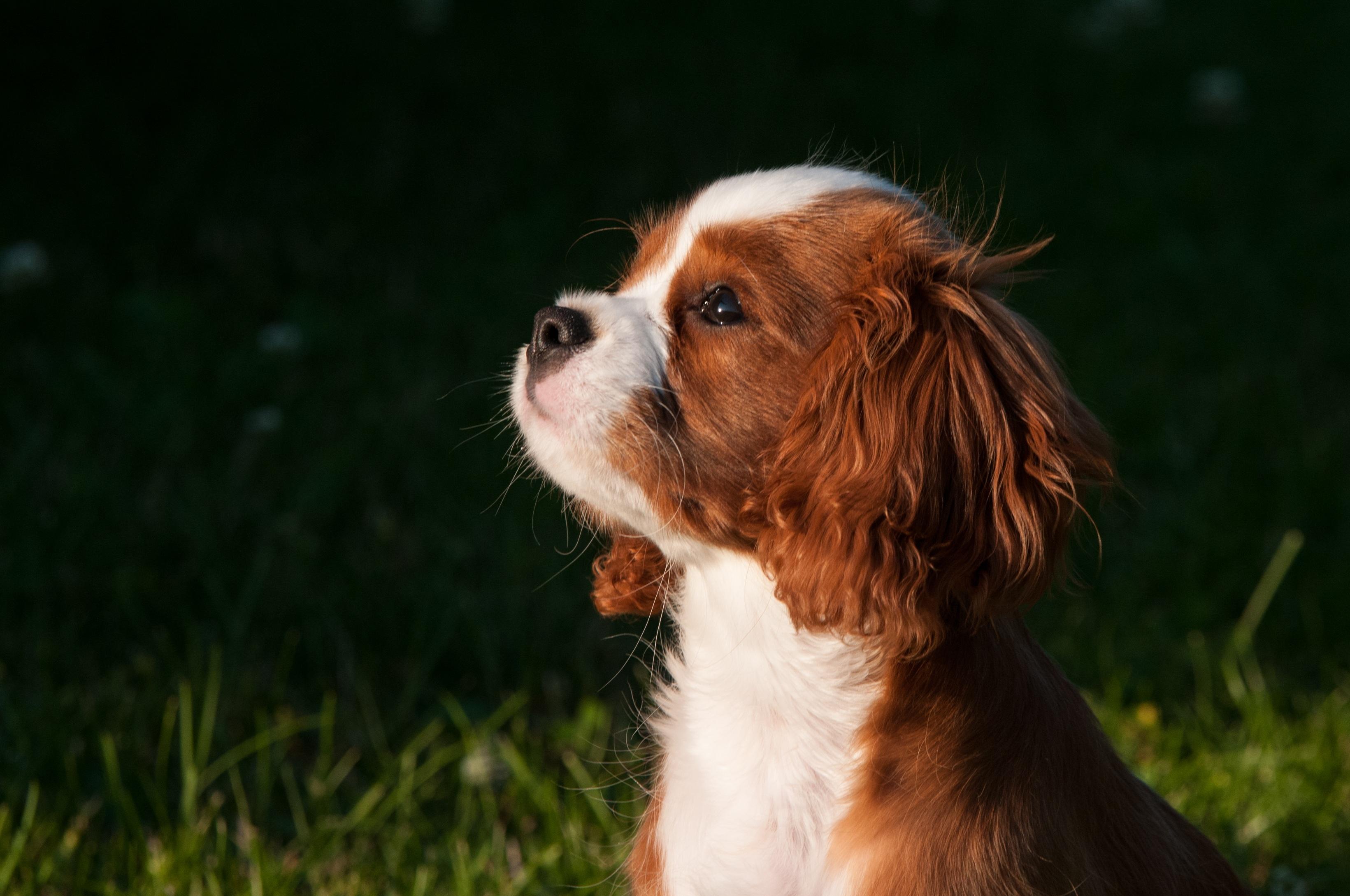 Welsh Springer Spaniel Puppy