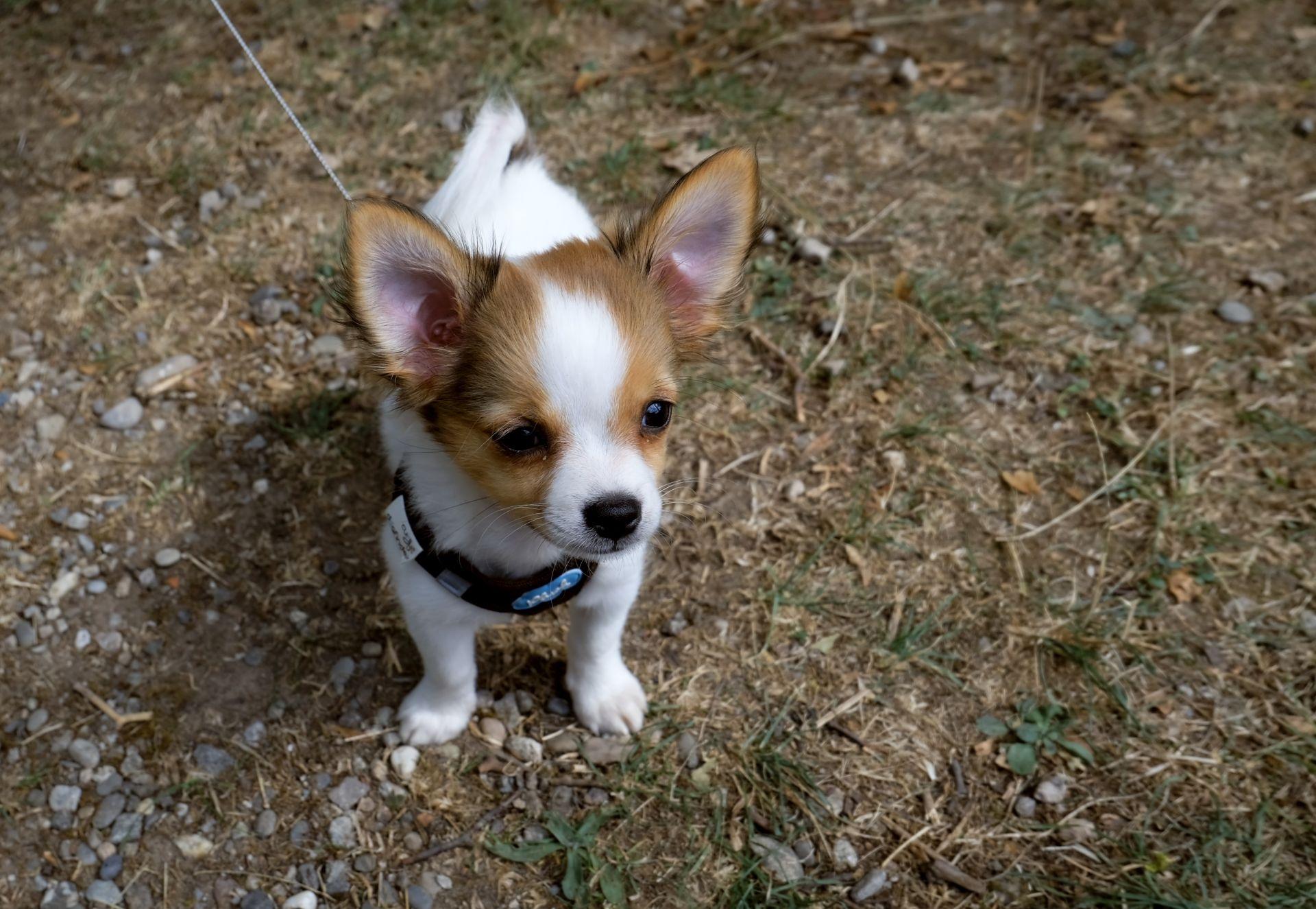 Free Images Puppy Pet Vertebrate Dog Breed Wildlife