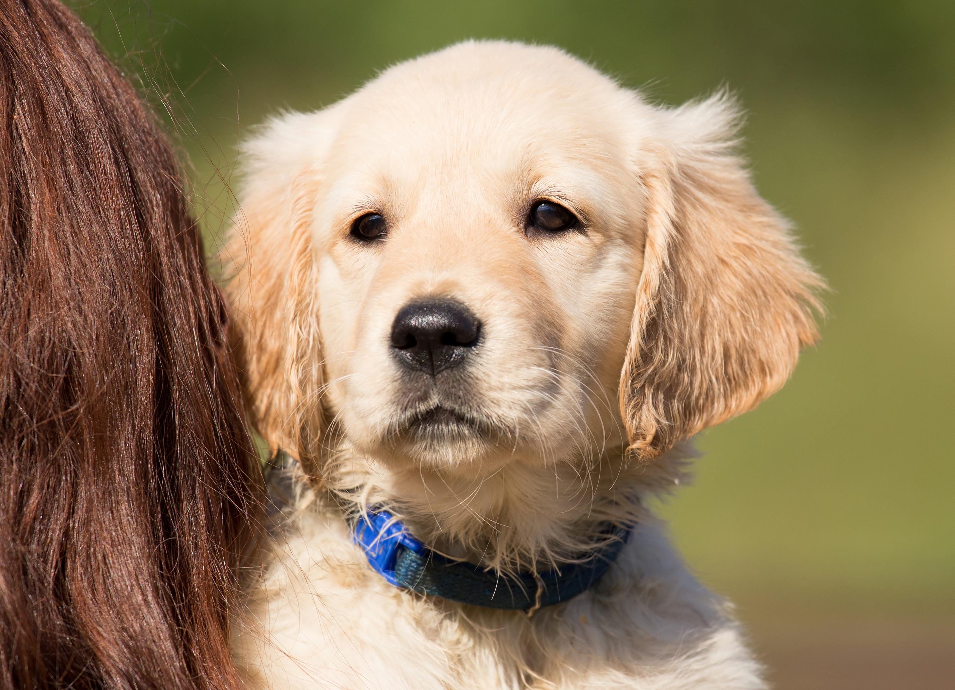 纯种金毛_图片素材 : 小狗, 宠物, 年轻, 鼻子, 金毛猎犬, 脊椎动物, 出来, 狗 ...