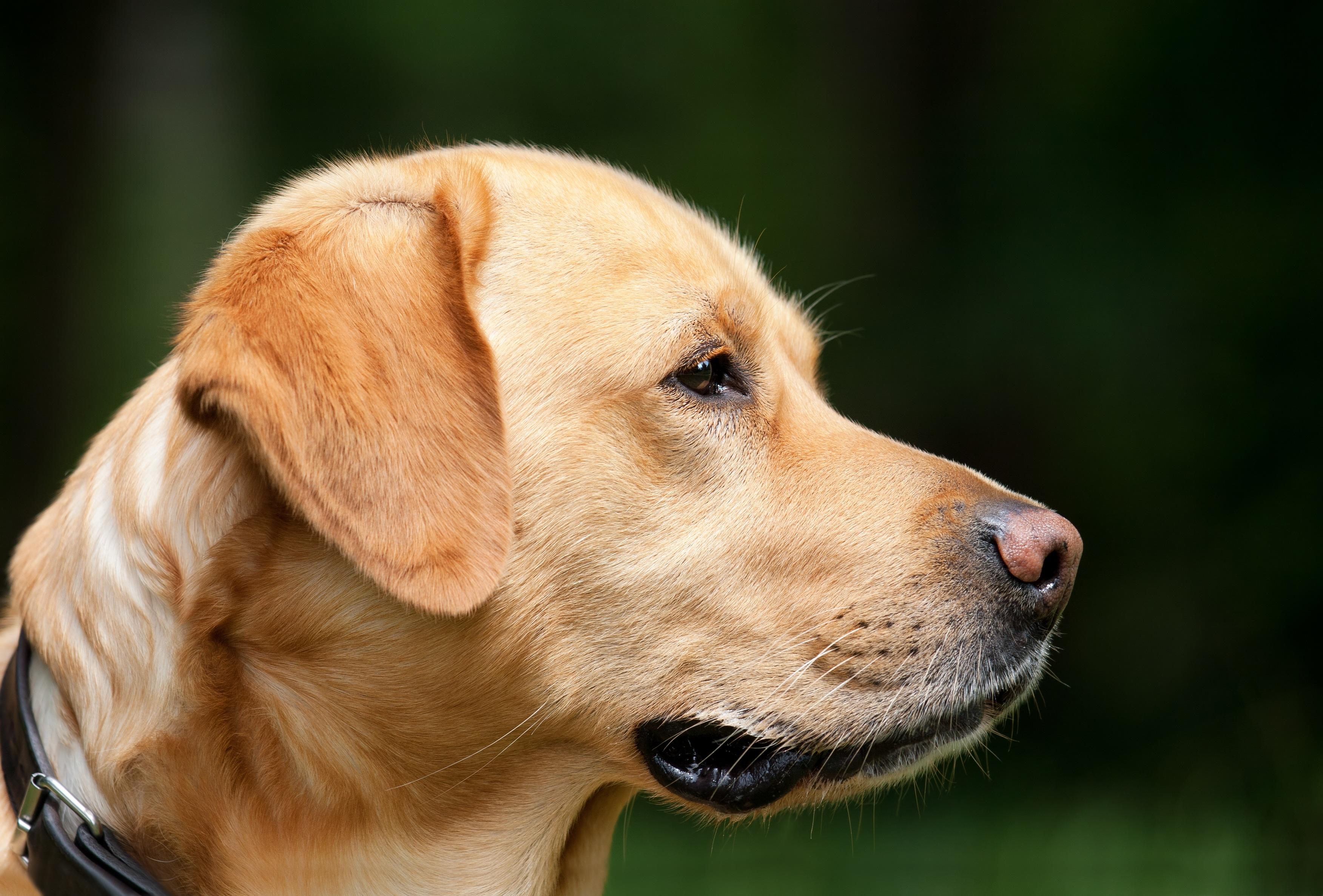 Free Images Puppy Profile Pet Nose Golden Retriever Snout