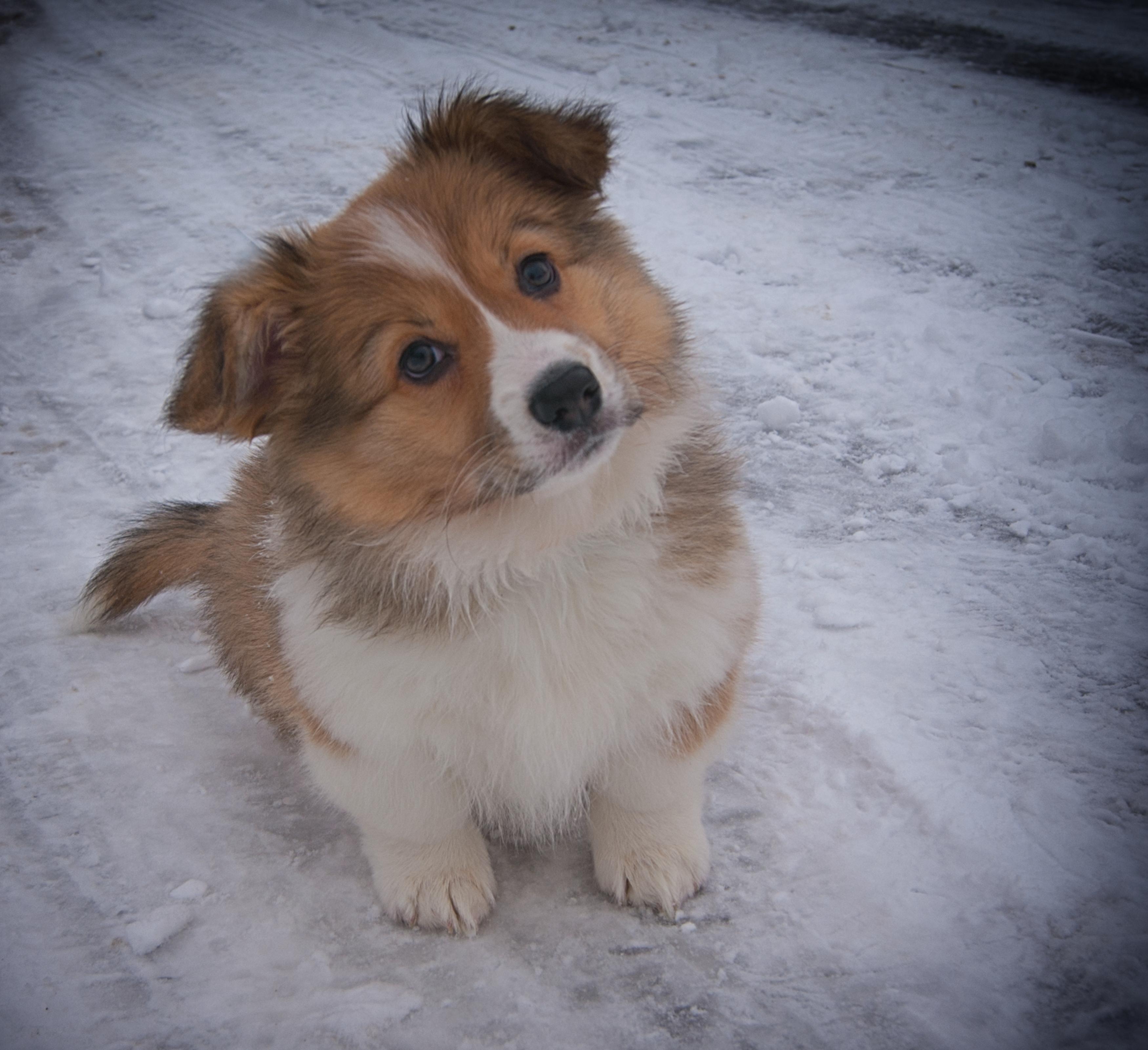 Free Images Puppy Snow Dog Like Mammal Dog Breed Dog Breed