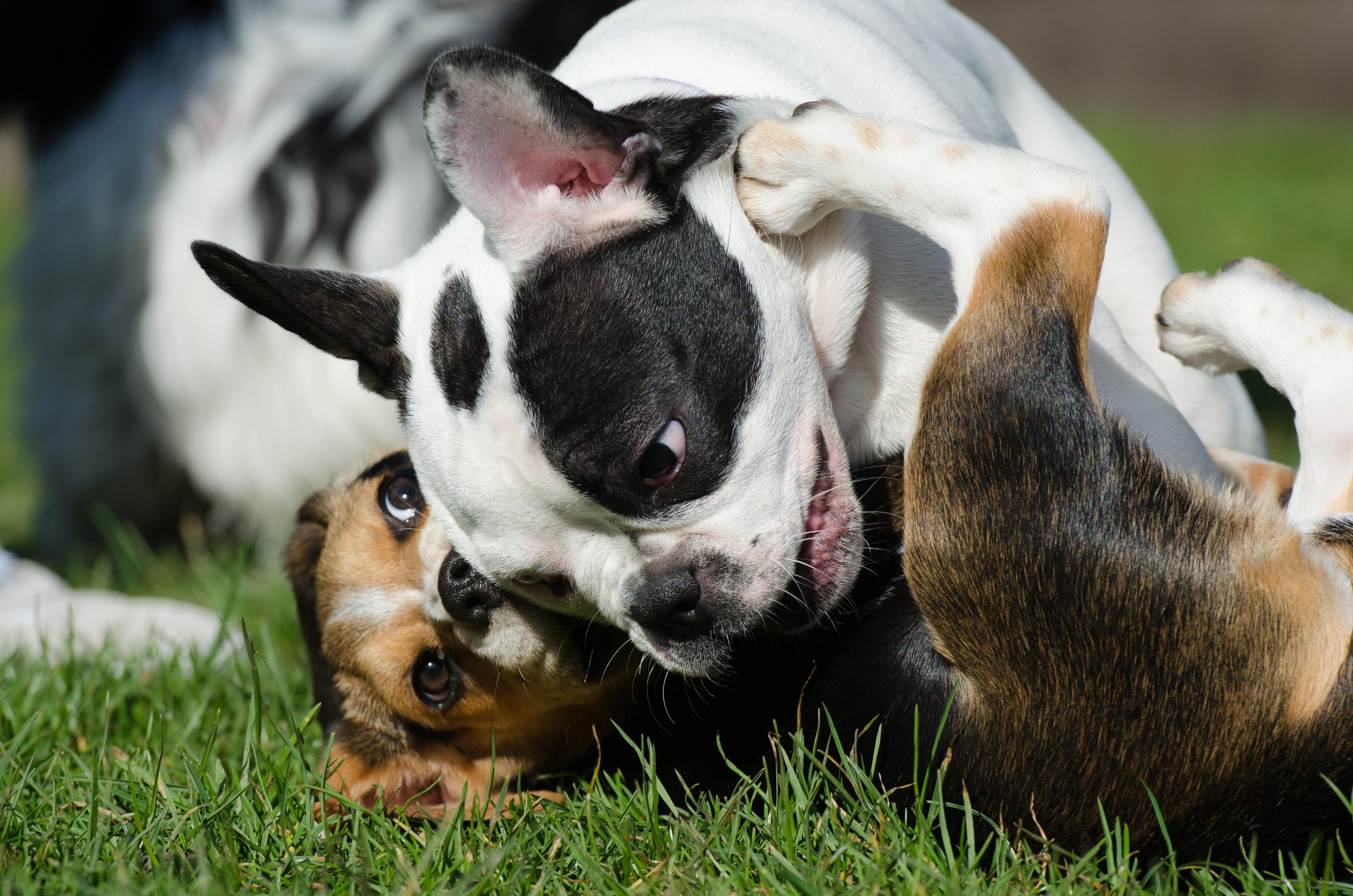 free images   summer  hunting dog  vertebrate  beagle  french bulldog  dog breed  nice weather