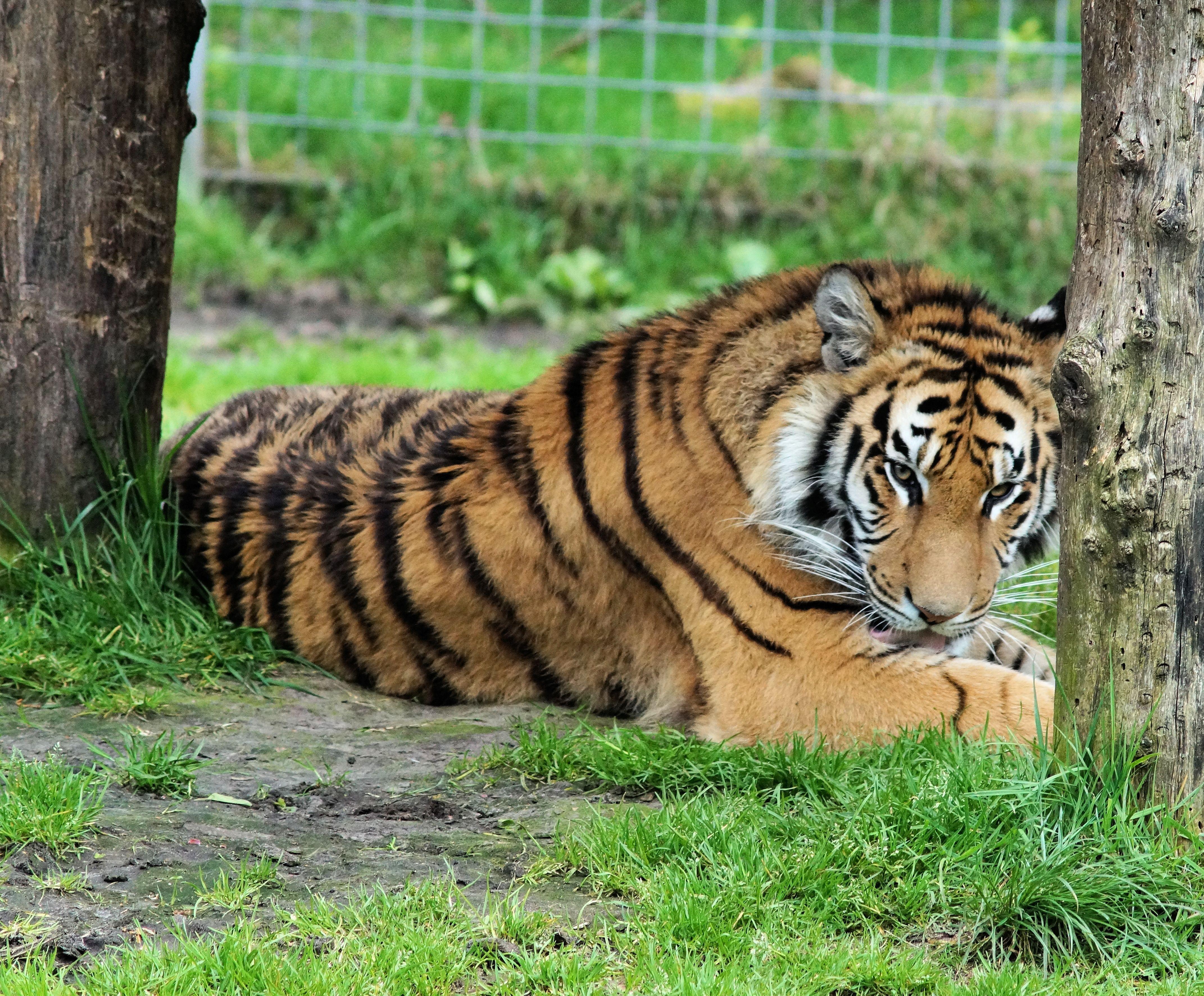 Velká indická kočička