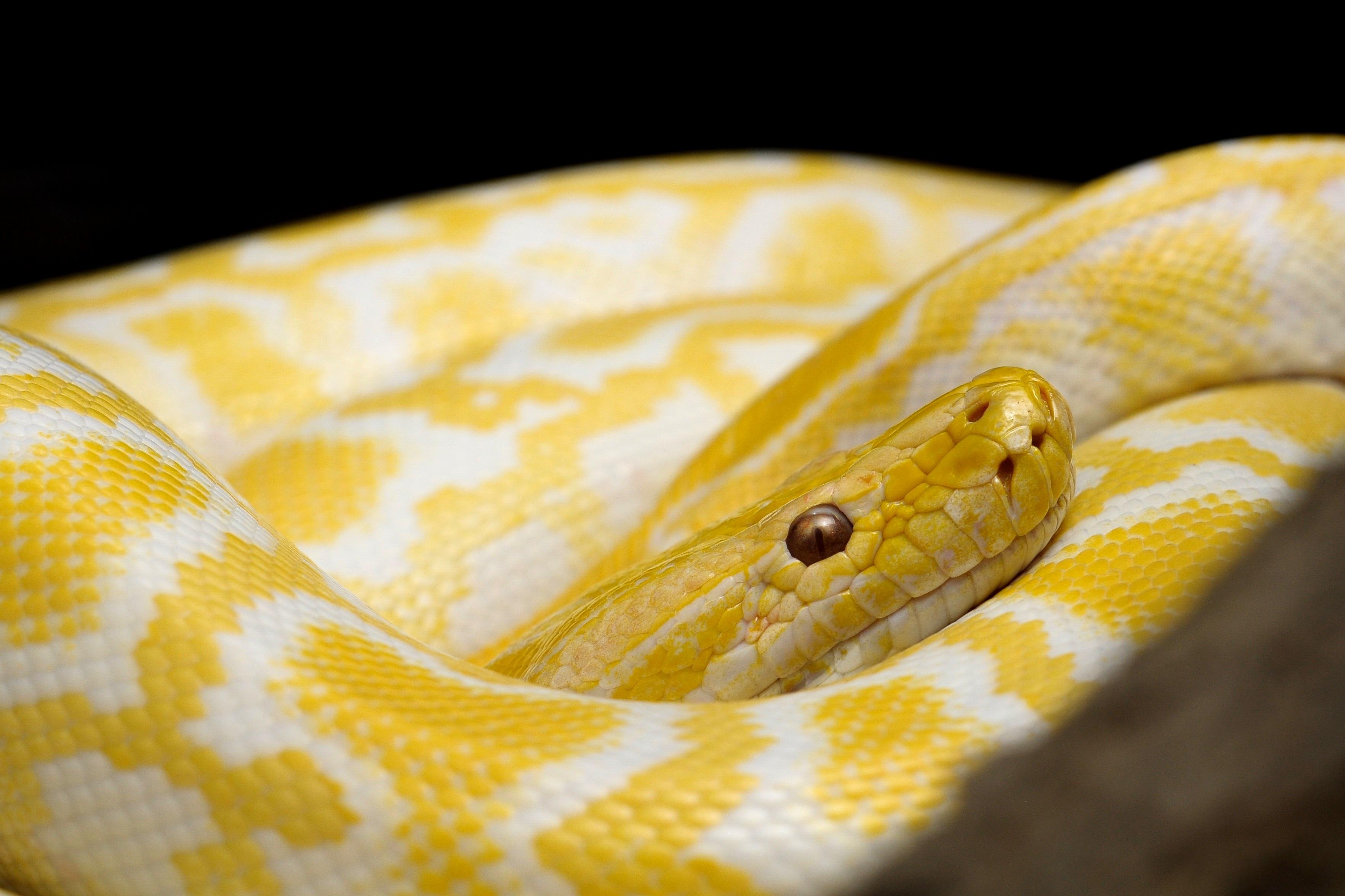 Free Images Fauna Close Up Vertebrate Dangerous Serpent Macro