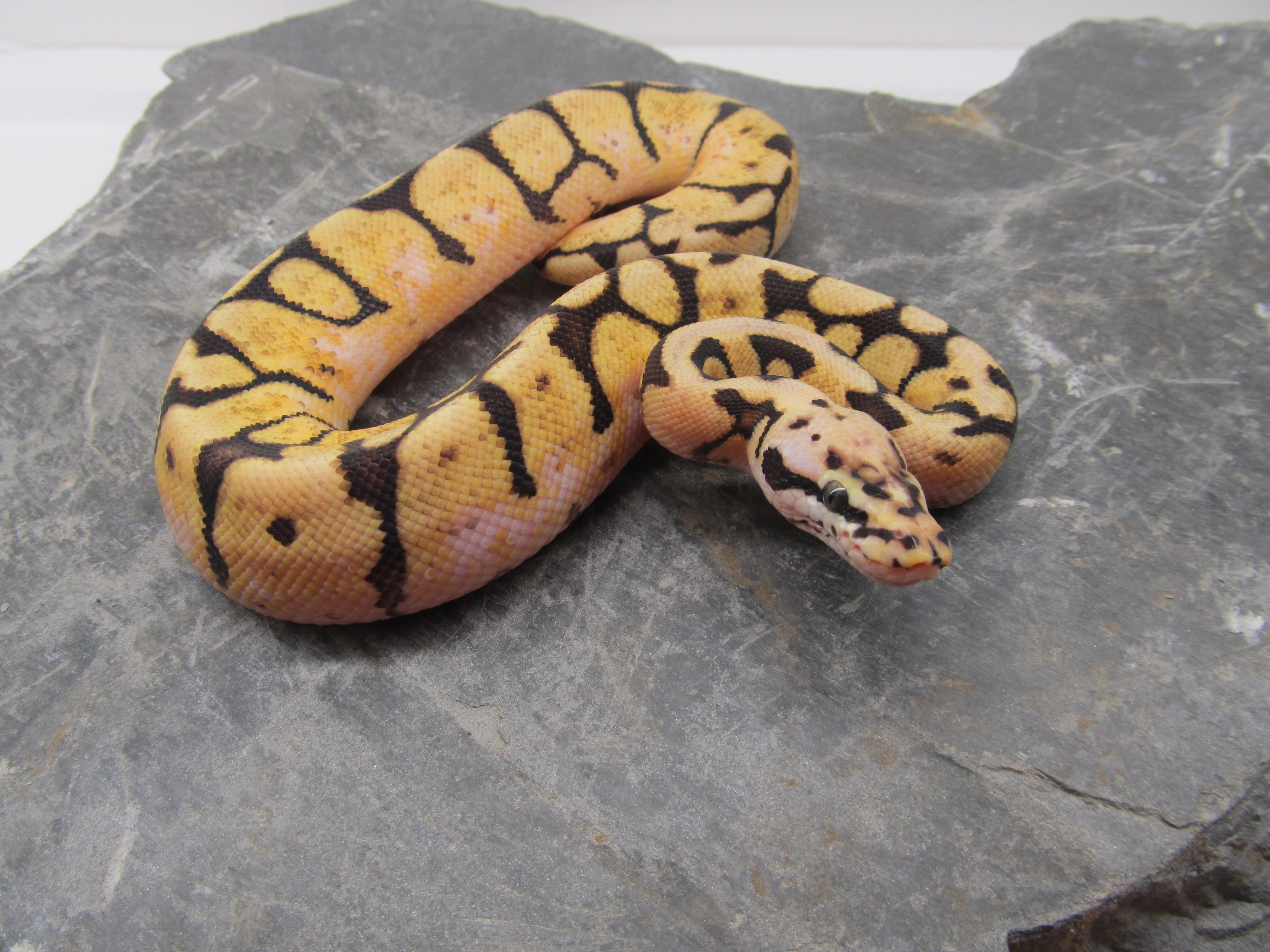 Anaconda Käärme