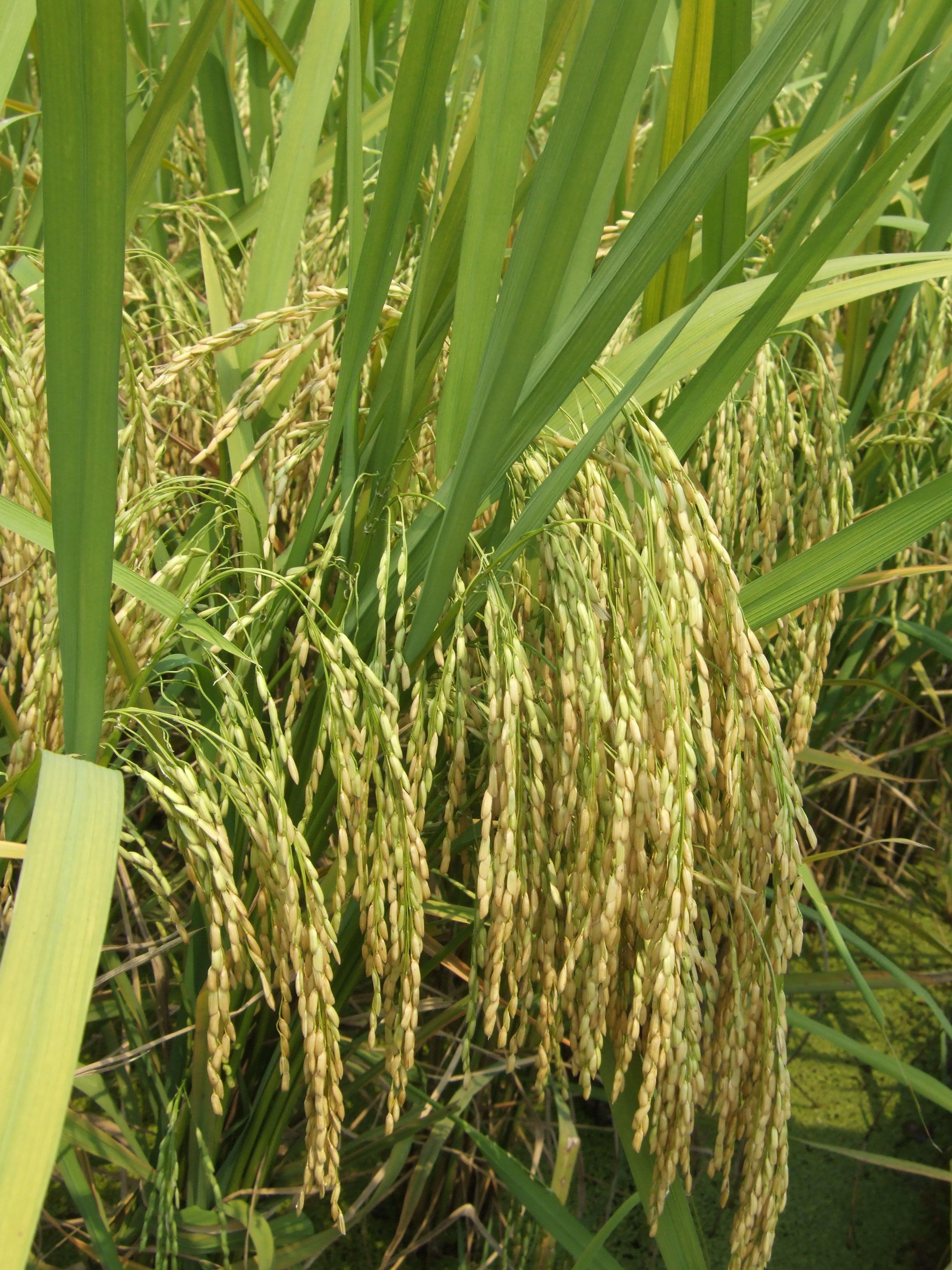 Gambar Nasi Pertanian Padi Bidang Menanam Keluarga Rumput Tanaman Terestrial Tanaman Berbunga Bunga Sawah Tanaman Uang 2616x3488 Cmmacc 1593902 Galeri Foto Pxhere