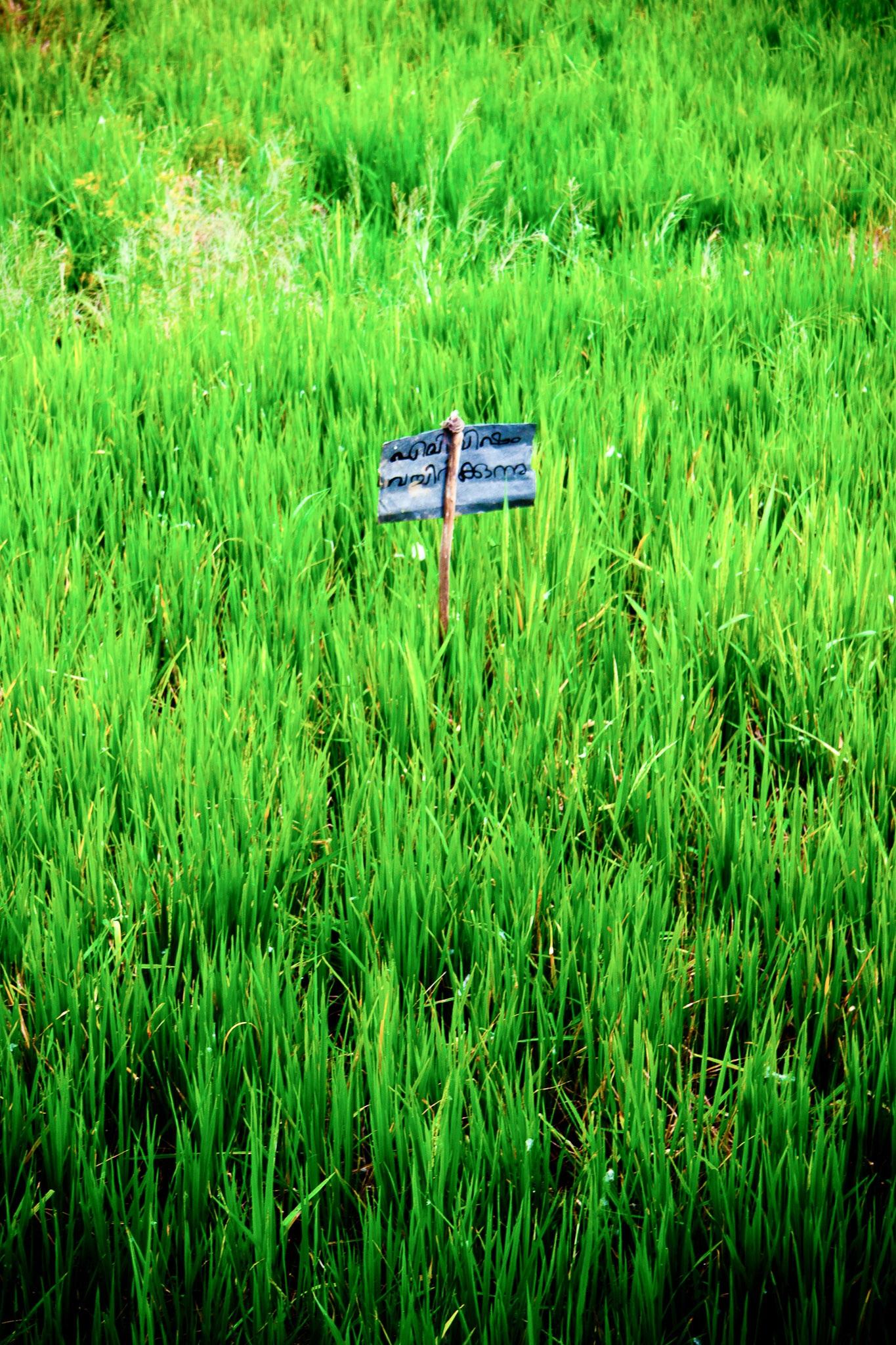 Gambar Nasi Sawah Pemandangan Asia Bidang Perkebunan Padi