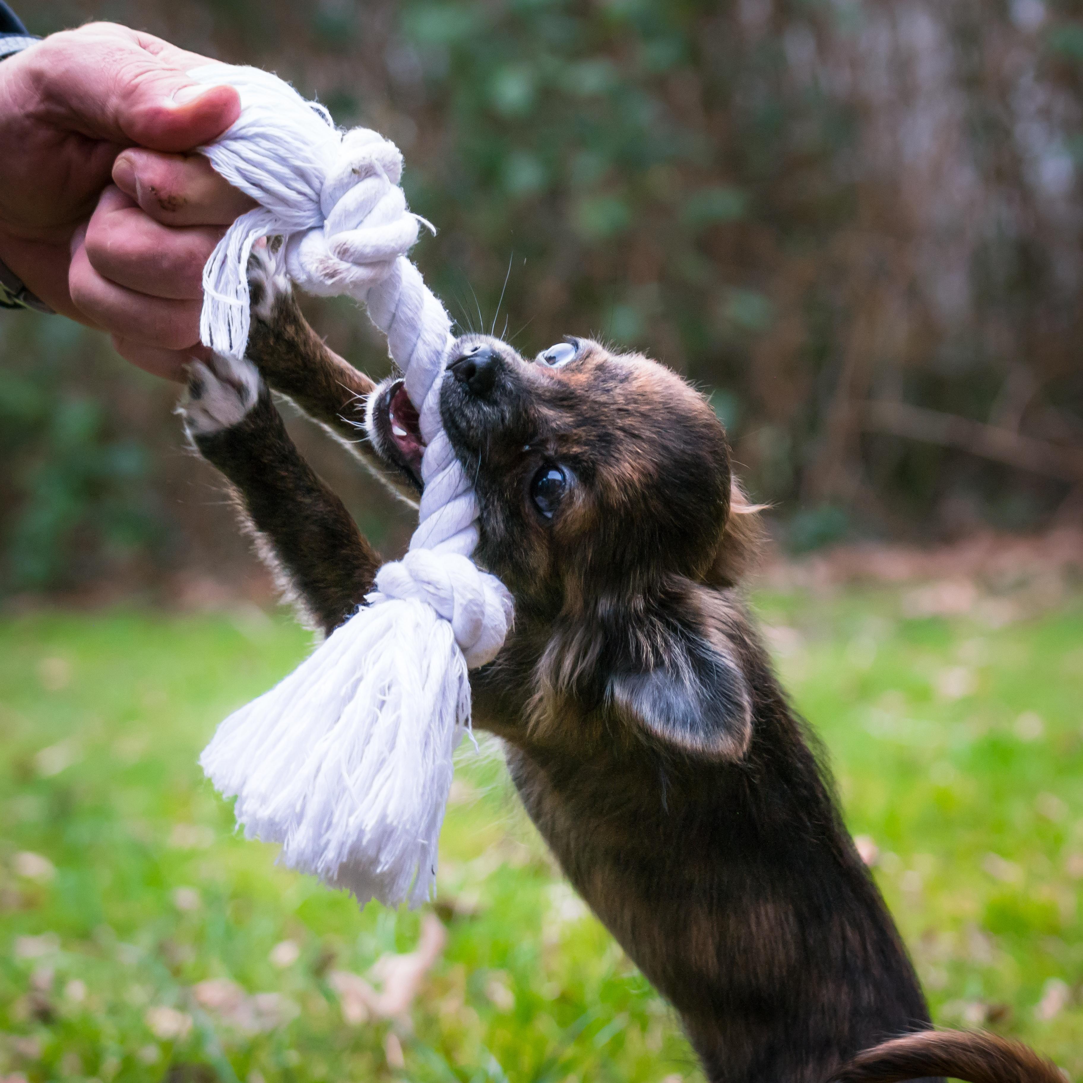 Fotos gratis cuerda jugar perrito linda fauna