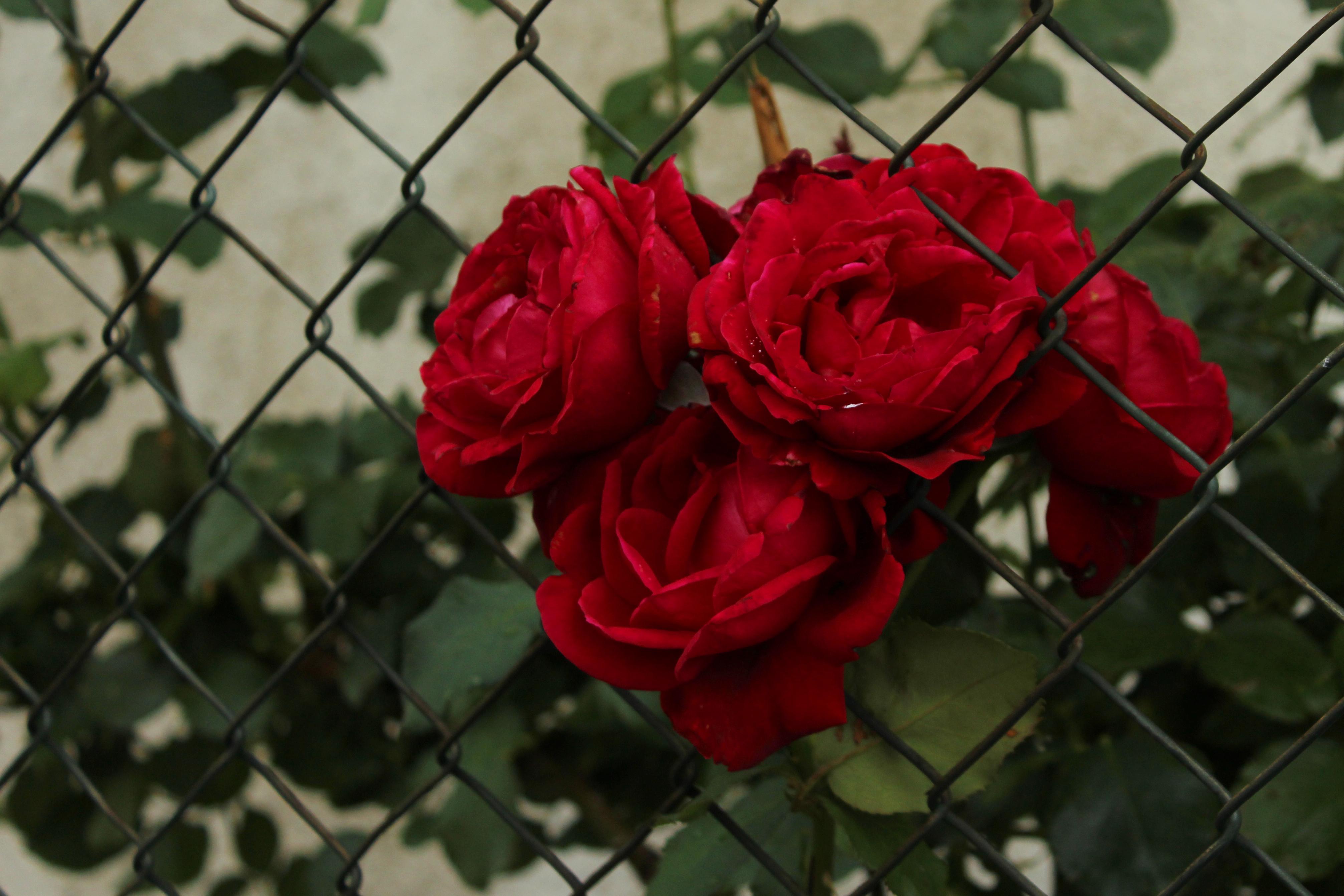 Kostenlose foto : Blume, Maschendraht, Grün, Garten, jailbreak, rot ...