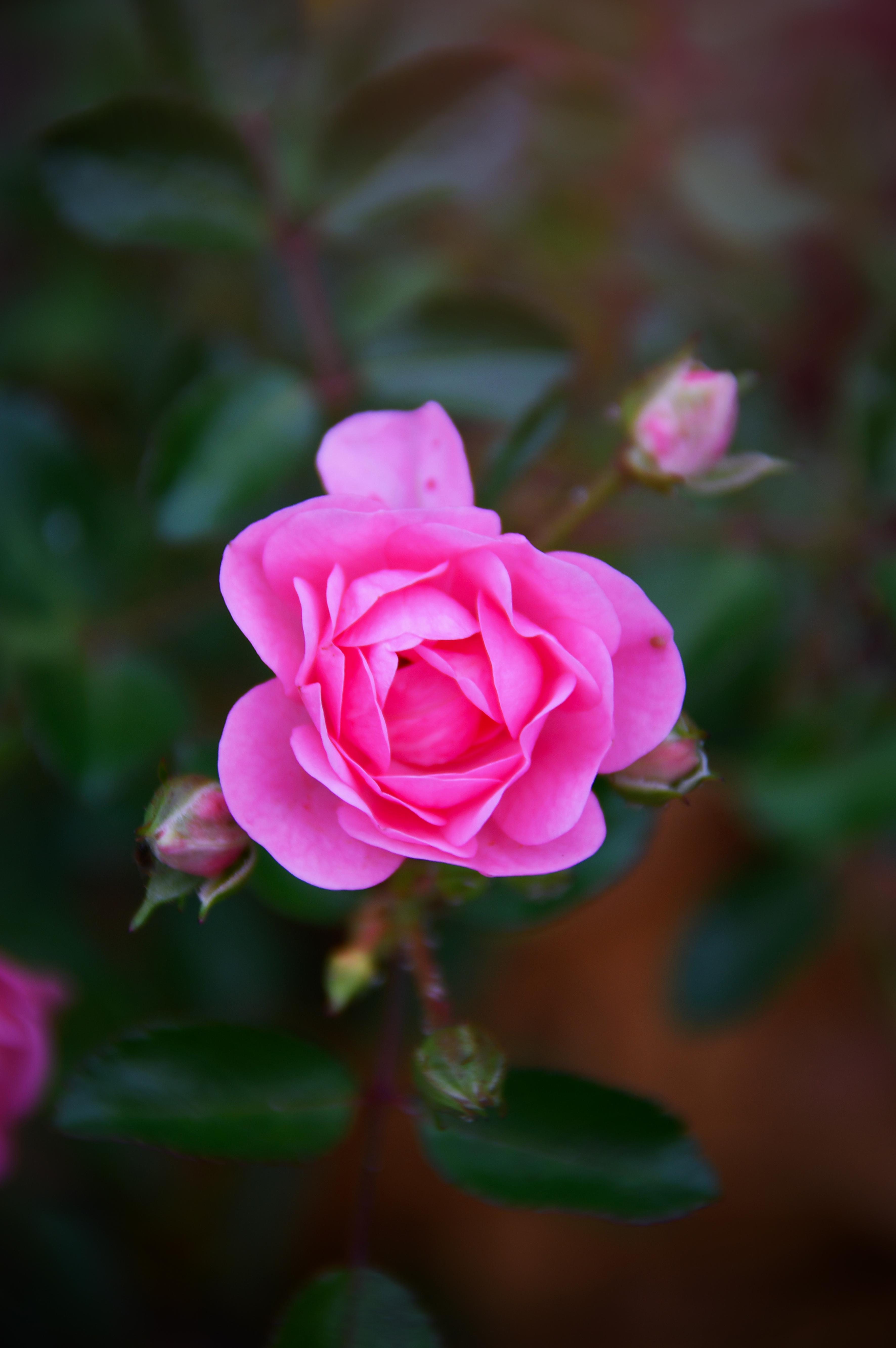 hình ảnh : bông hồng, Hồng, Mùa thu, sáng, Hoa hồng, đẹp, thiên nhiên, màu xanh lá, thực vật, Lá, Cánh hoa, leo, Nở, Cây bụi, công viên, Đỏ, lý lịch, ...