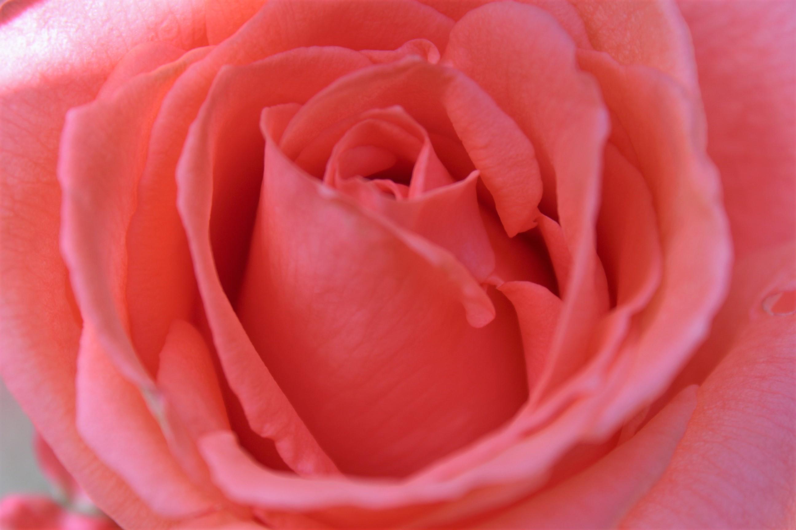 無料画像 ピンクのバラ 閉じる 赤 庭のバラ バラの家族
