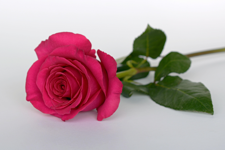 большой картинки одного цветка розы дочь лесбиянки трахаются