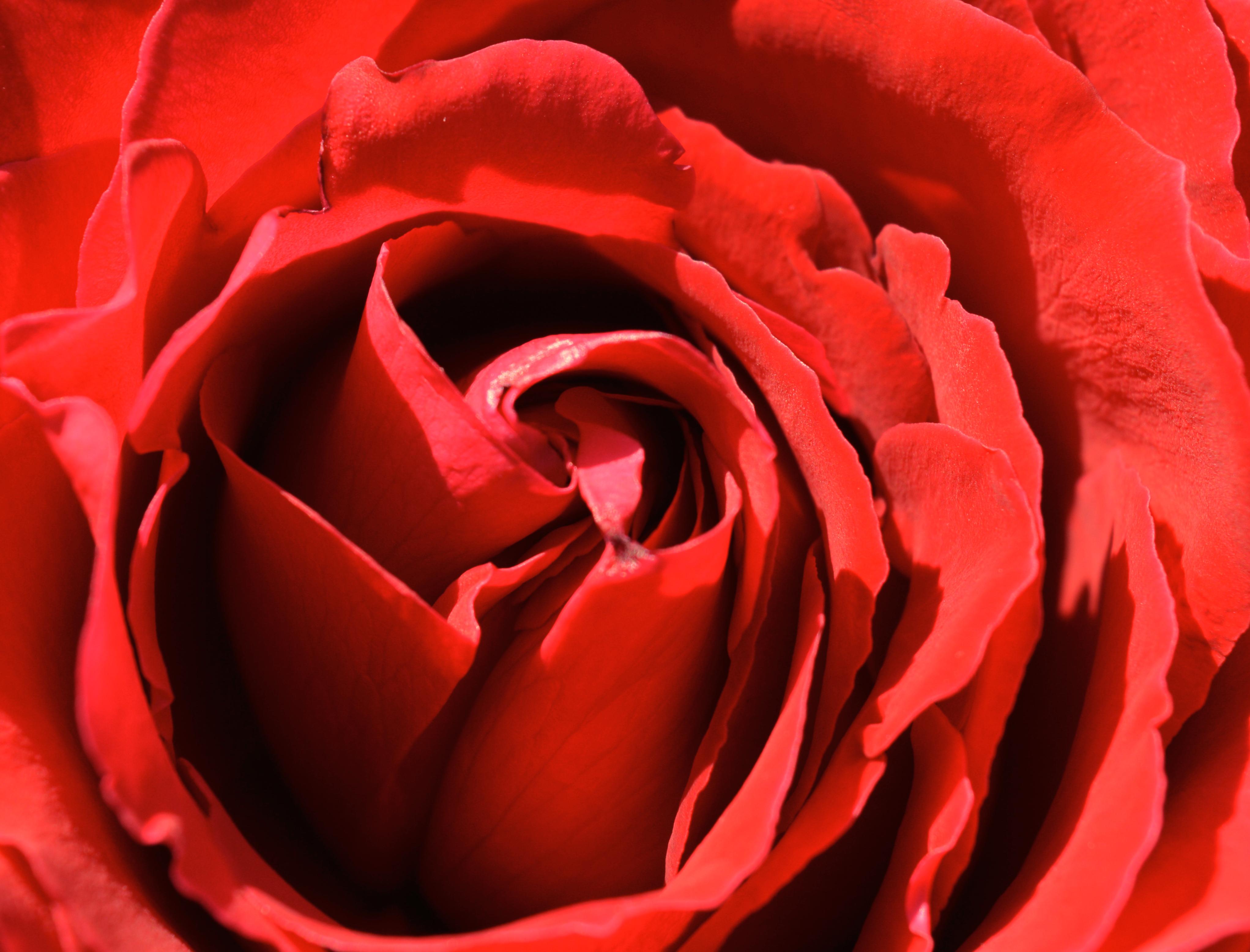 Gambar Mawar Merah Berkembang Menanam Romantis Keindahan