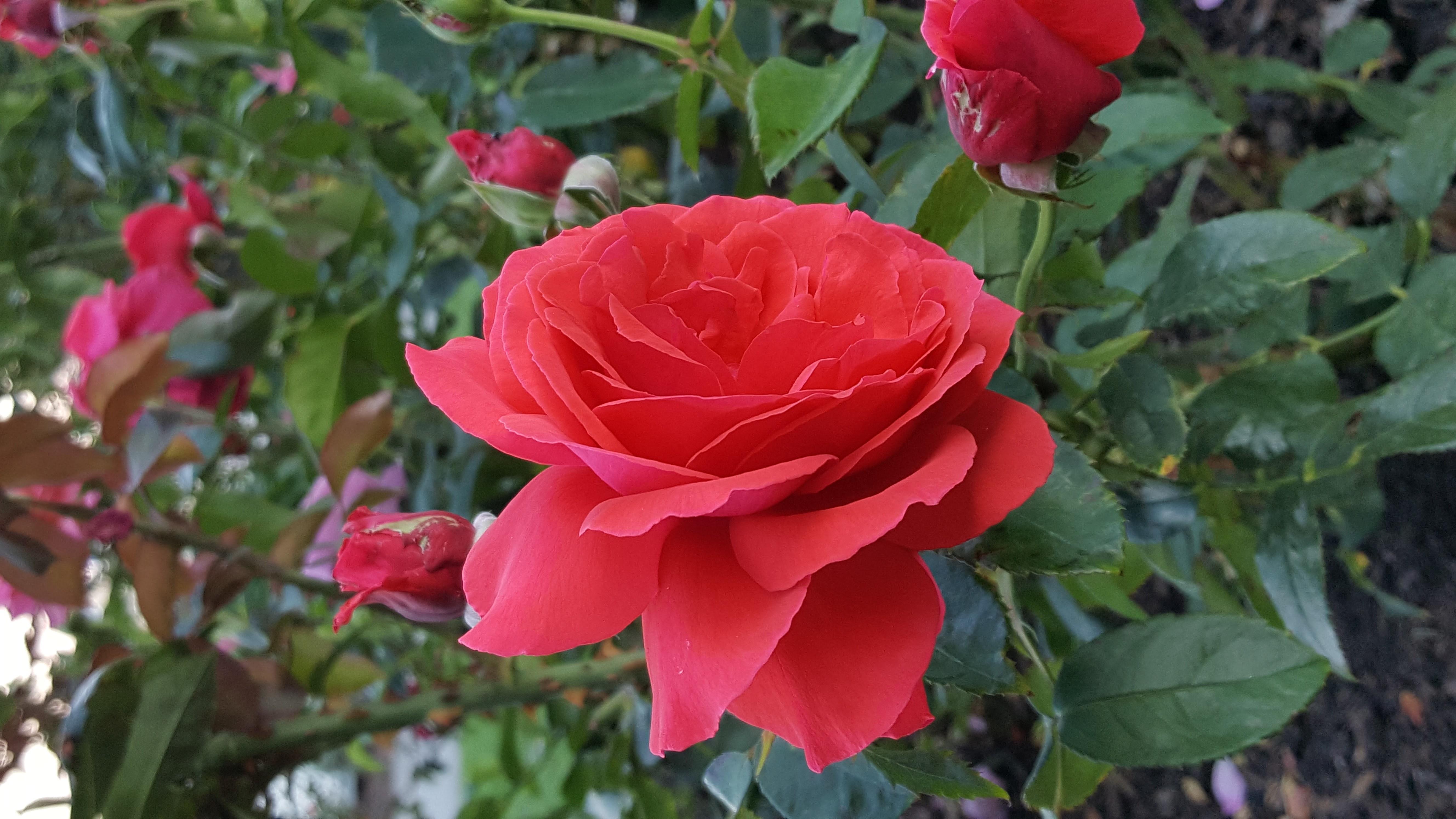 Free Images Red Rose Flower Rose Family Garden Roses