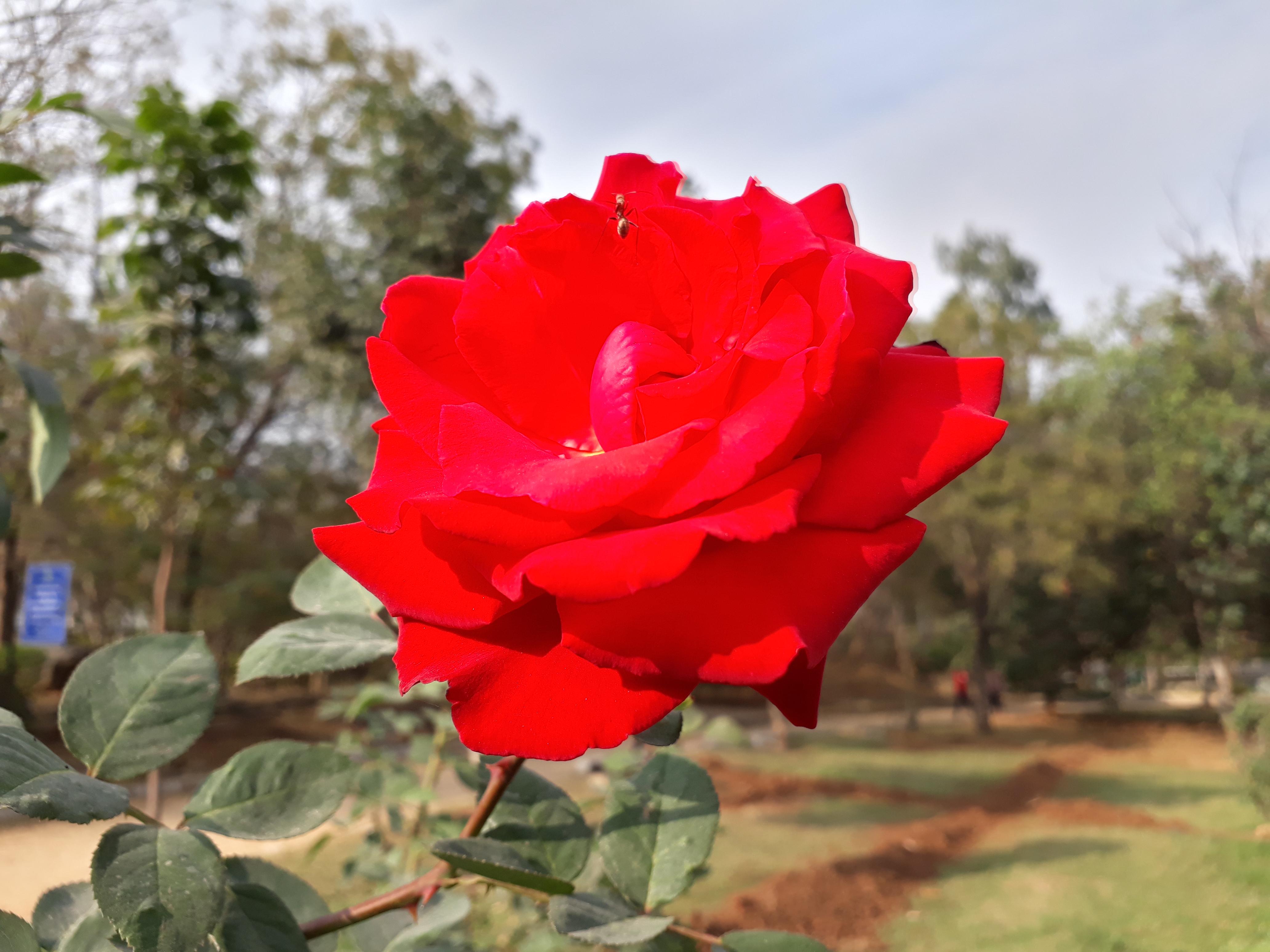 Free Images Red Rose Nature Flower Rose Family Garden Roses