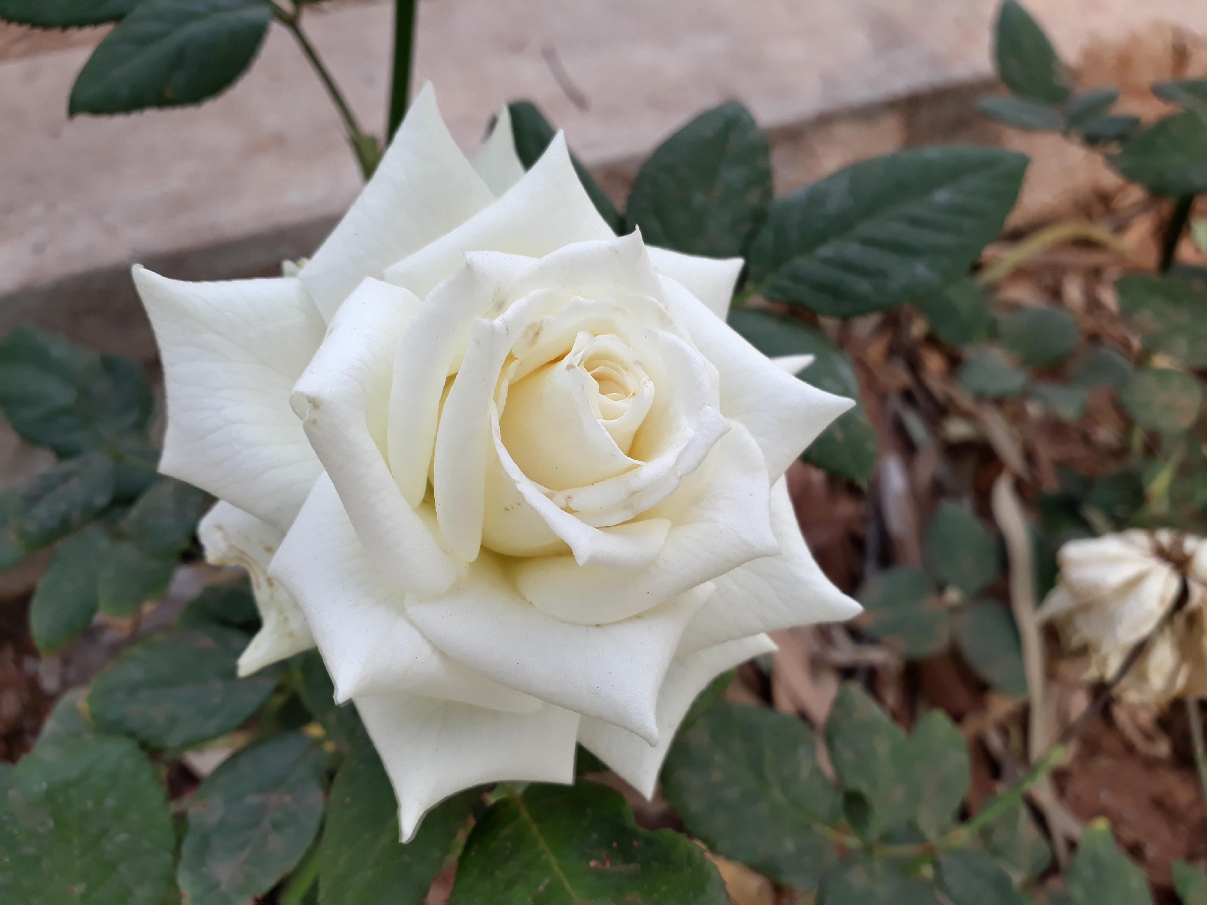 Images Gratuites Rose Blanche La Nature Fleur Rose Famille
