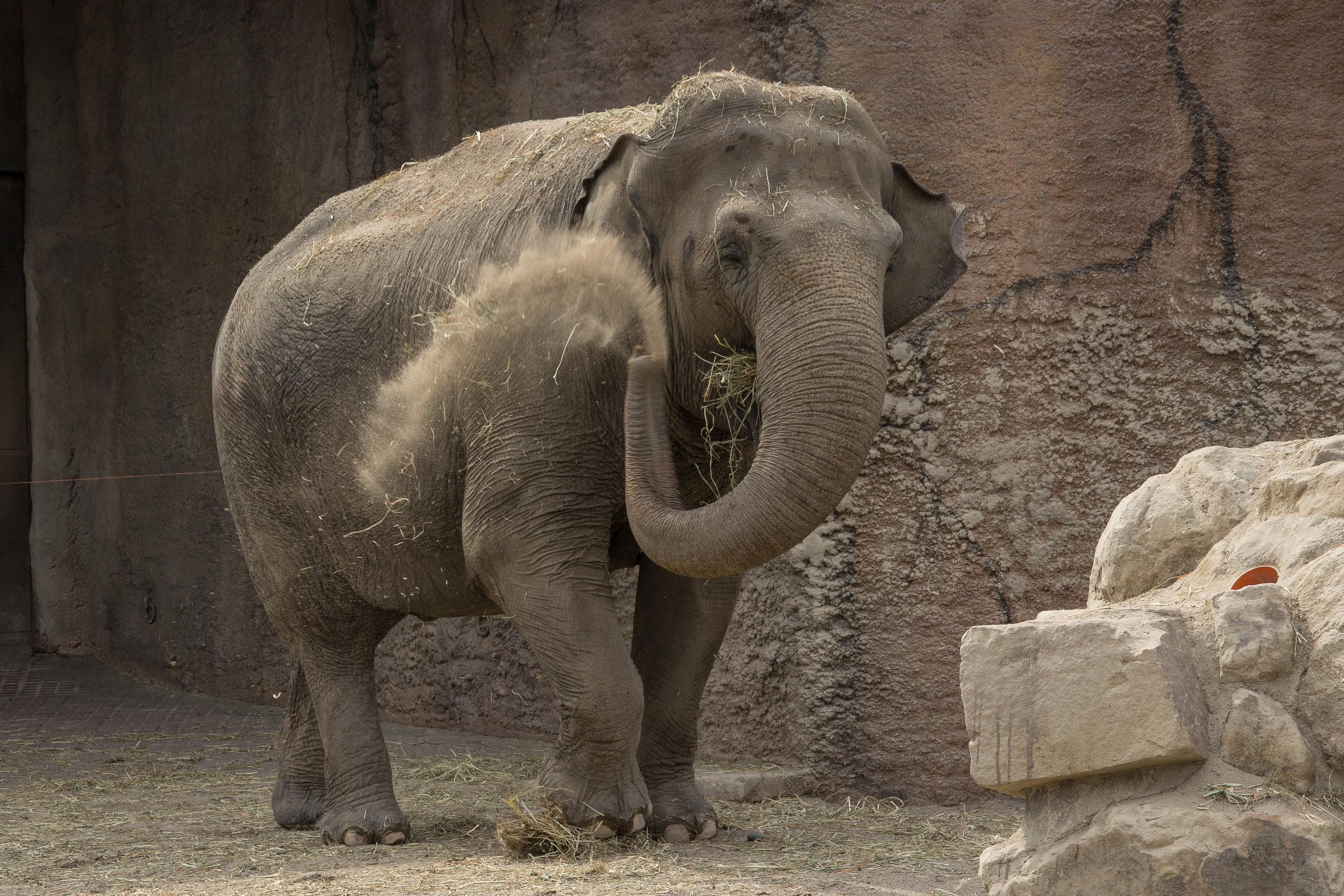 Images gratuites le sable faune zoo mammif re l phant animaux trompe l phant indien - Photos d elephants gratuites ...