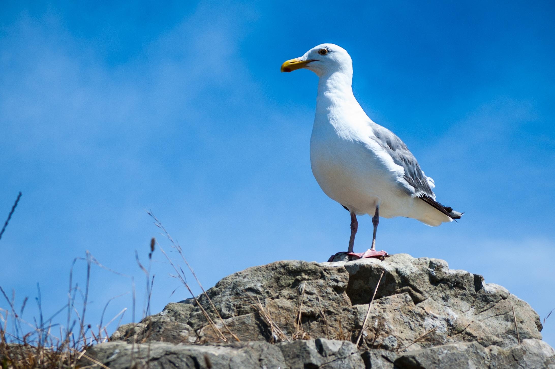 потому чайка фото птица занимают первые