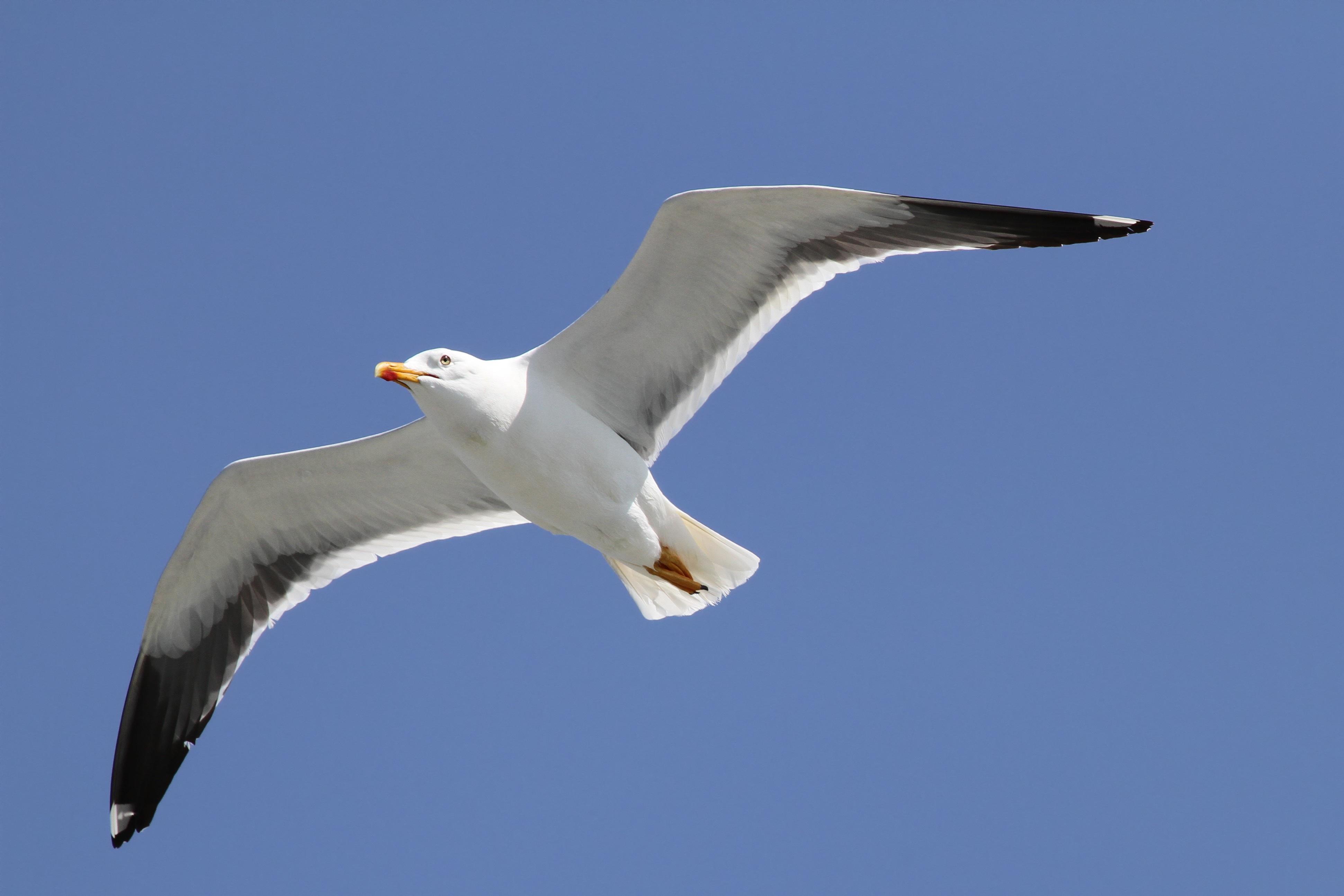 фото чайка птица