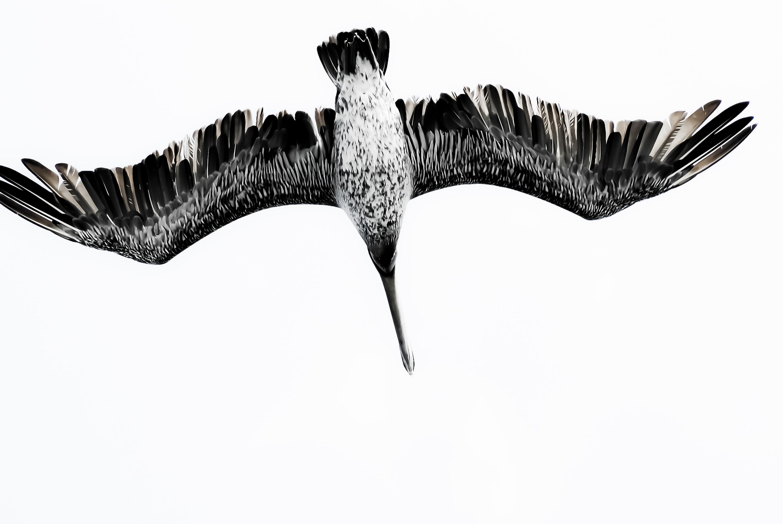 Gambar Laut Sayap Camar Seni Sketsa Gambar Kelelawar