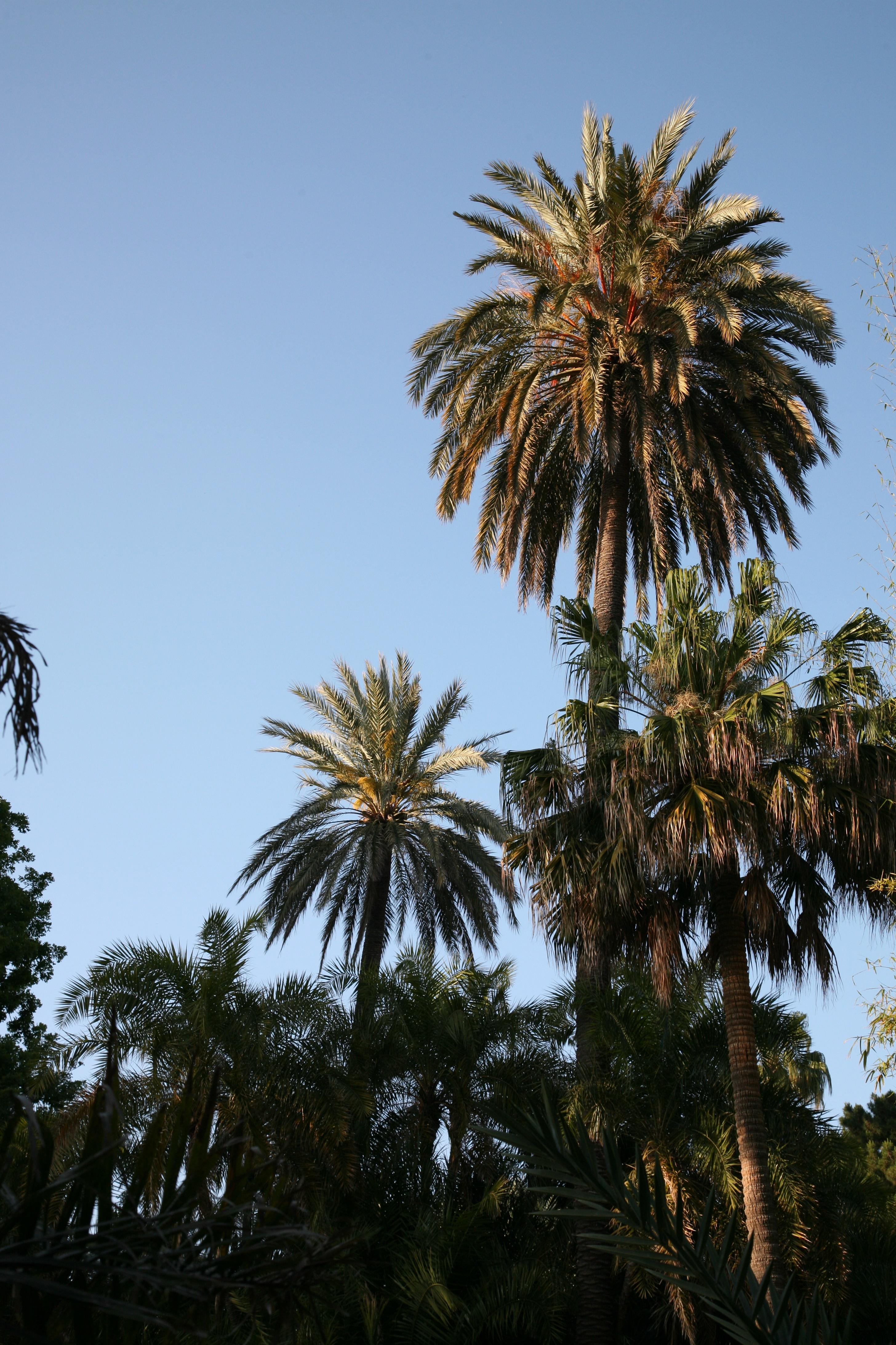 palmier espagne