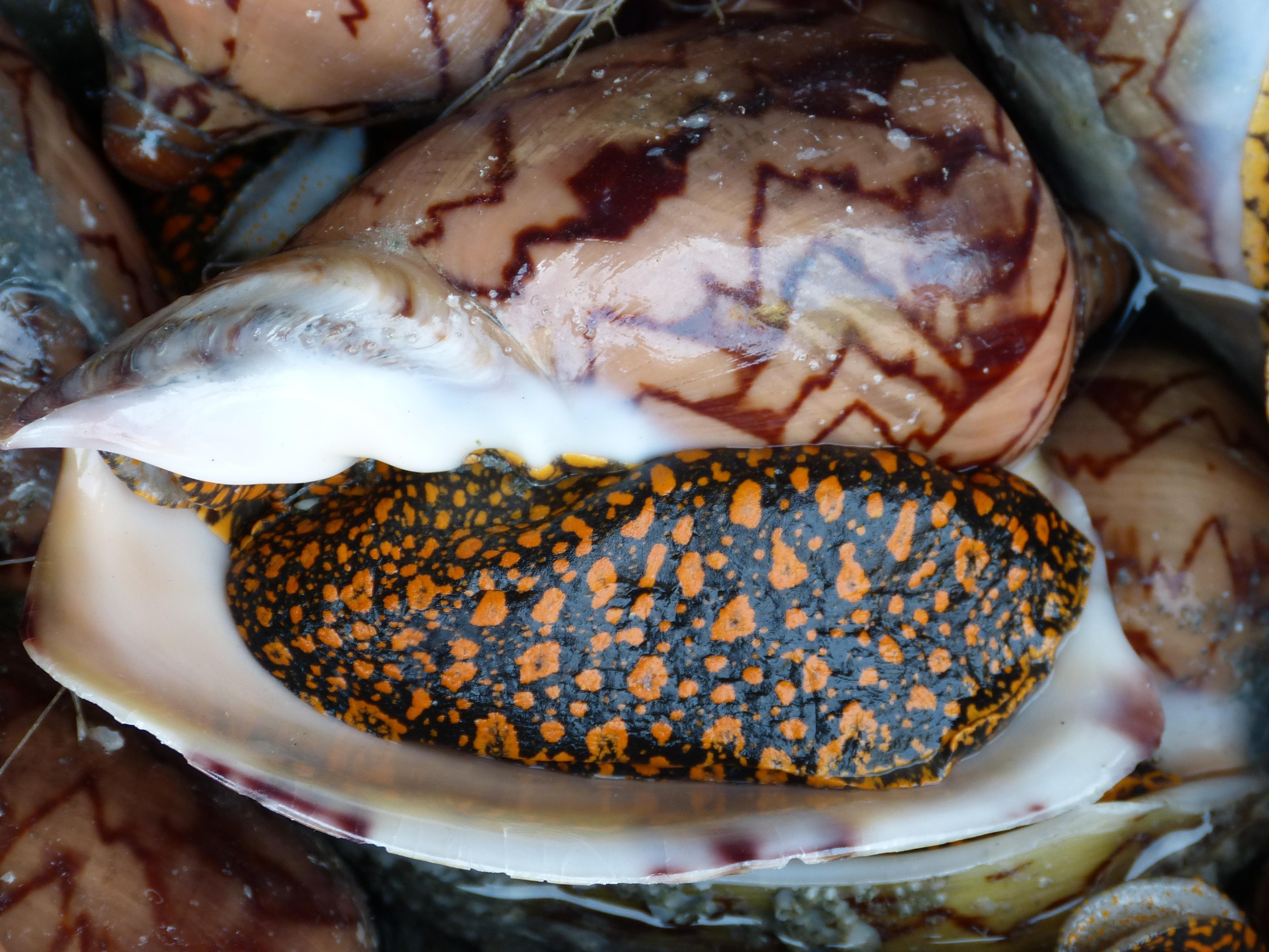 Como Cocinar Caracolas De Mar   Fotos Gratis Mar Plato Comida Produce Pescar Mariscos