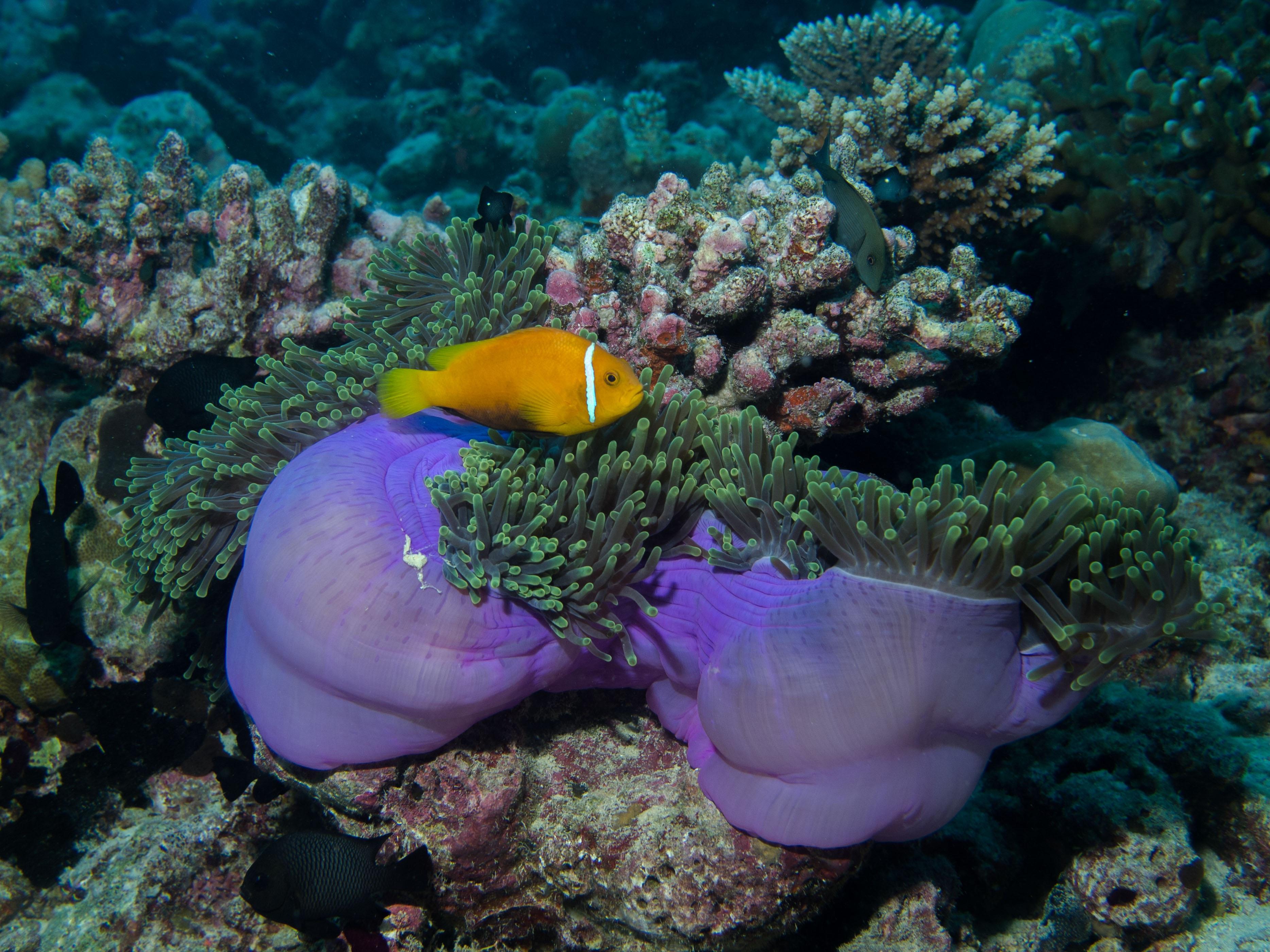 Gambar Menyelam Bawah Air Batu Karang Invertebrata Ikan Badut