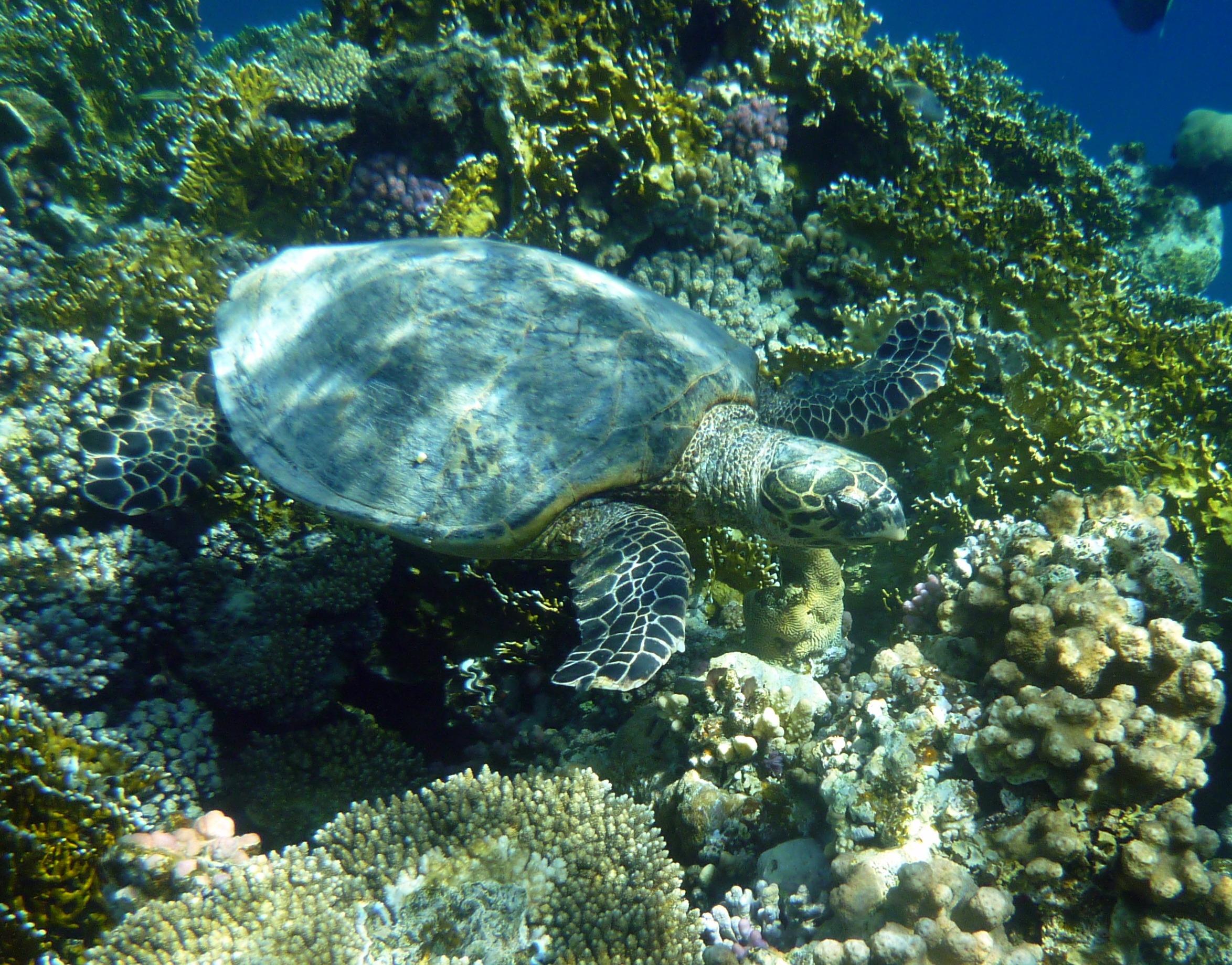 free images diving underwater sea turtle reptile fauna