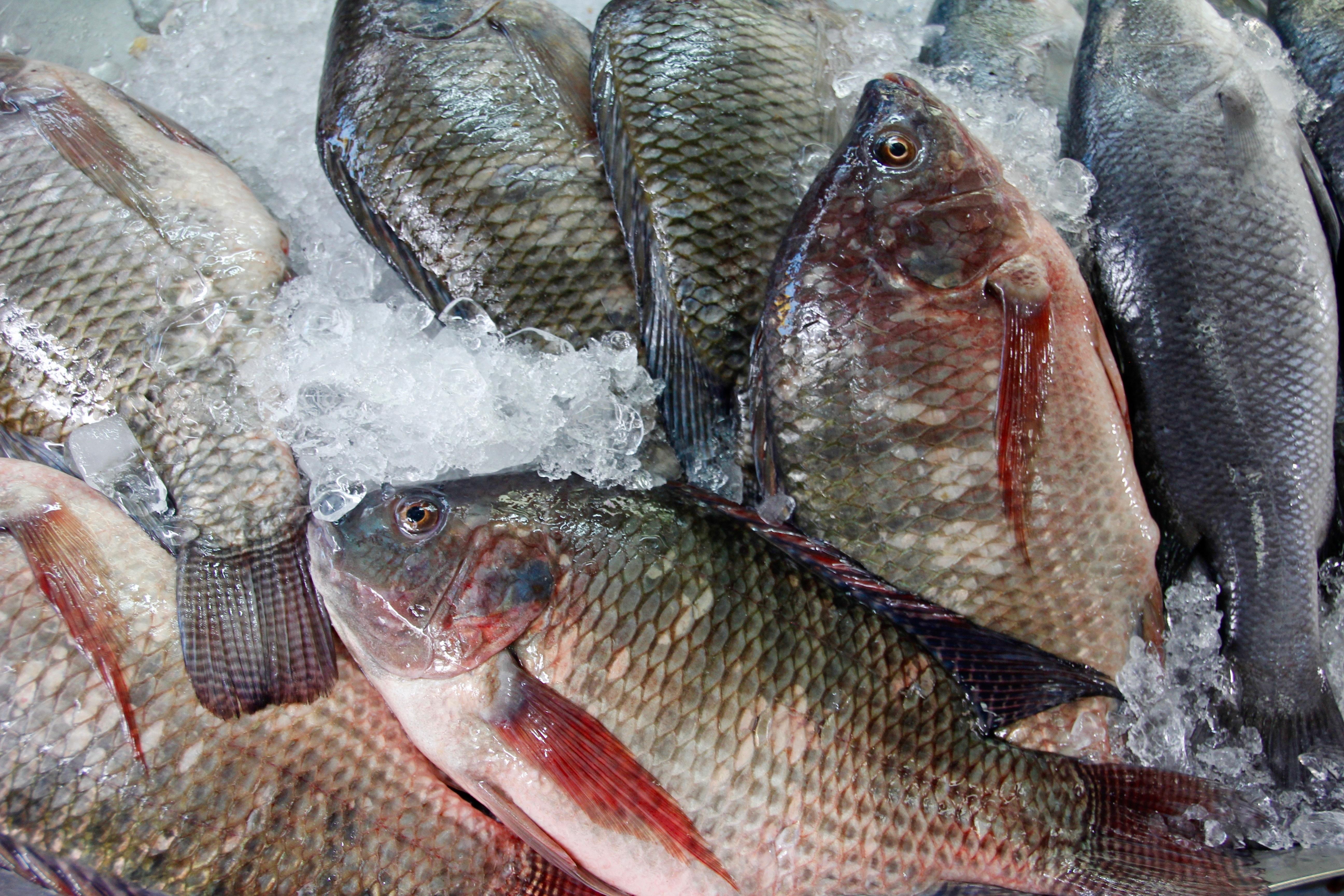 Images gratuites mer aliments rouge p che perche for Alimentation des poissons rouges