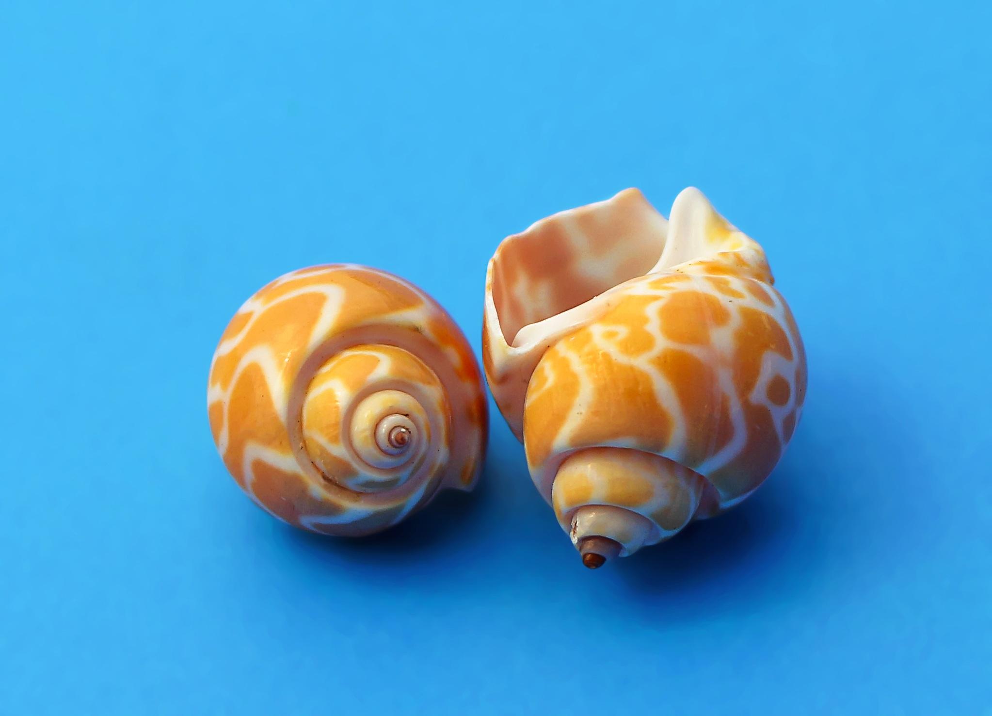 Gambar Alam Makanan Titisan Invertebrata Kerang Laut Kulit
