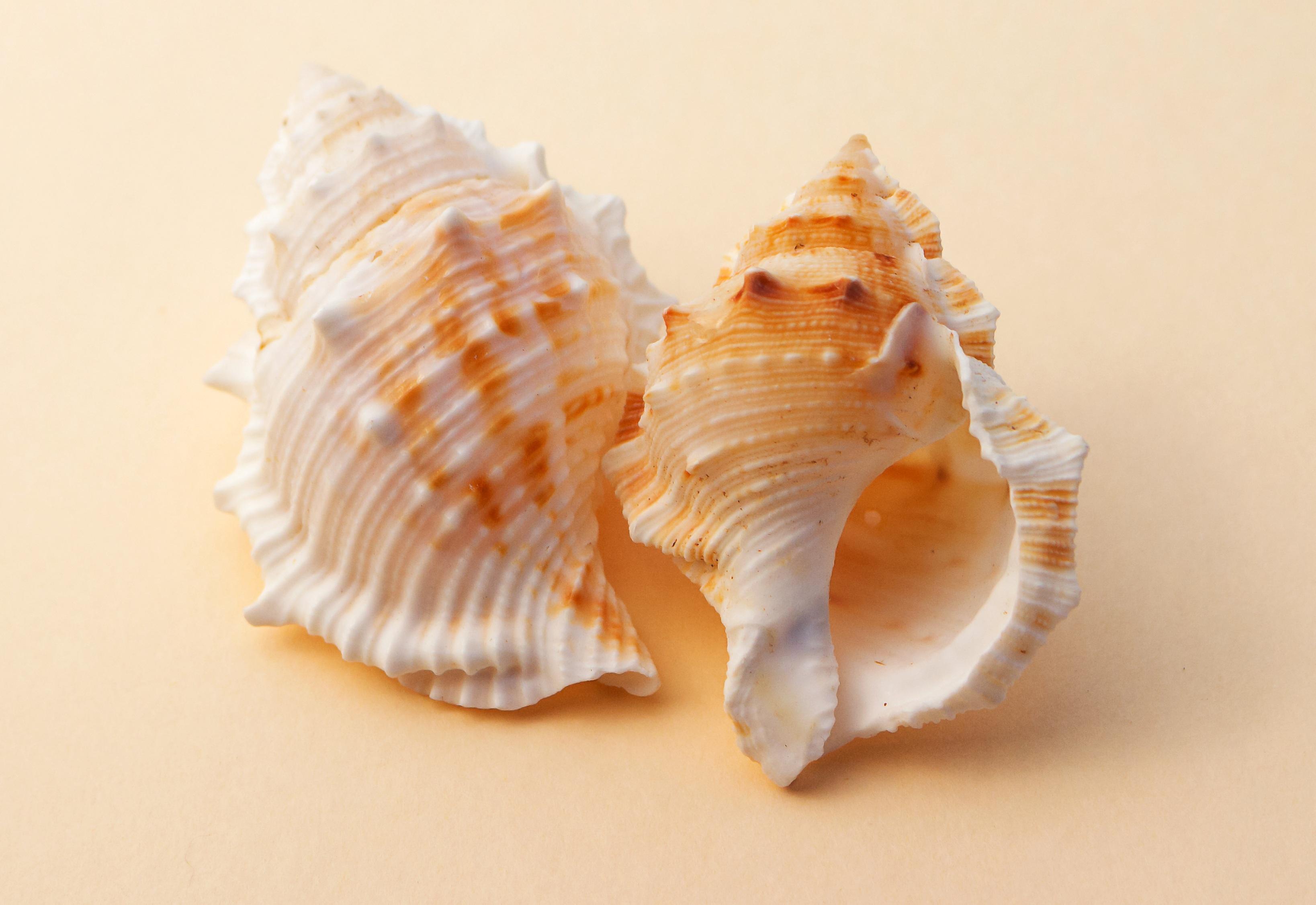 Gambar Alam Bahan Invertebrata Kerang Laut Kulit Kerang Kerut