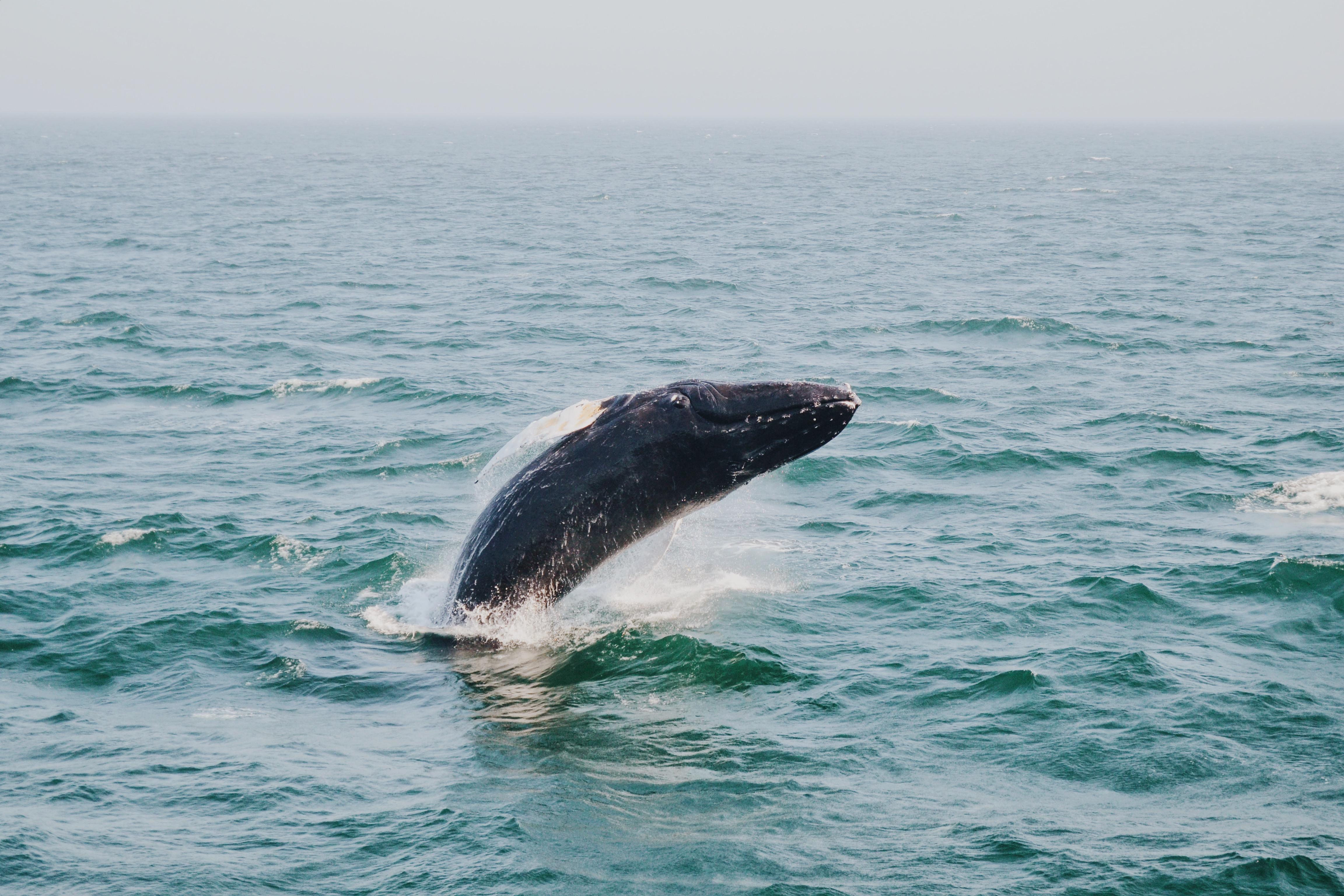 free images sea ocean humpback whale vertebrate marine