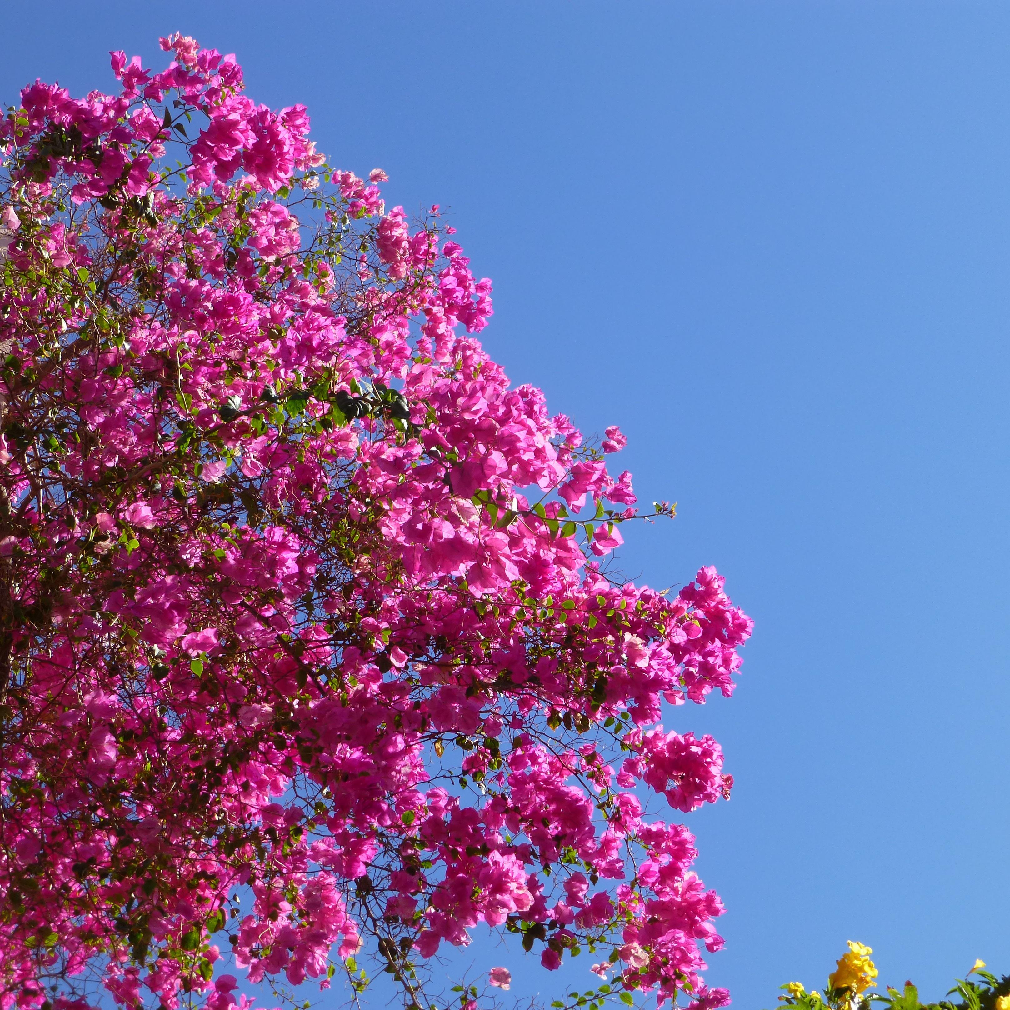 Bougainville Fleur dedans images gratuites : mer, arbre, branche, fleur, ciel, soleil, été
