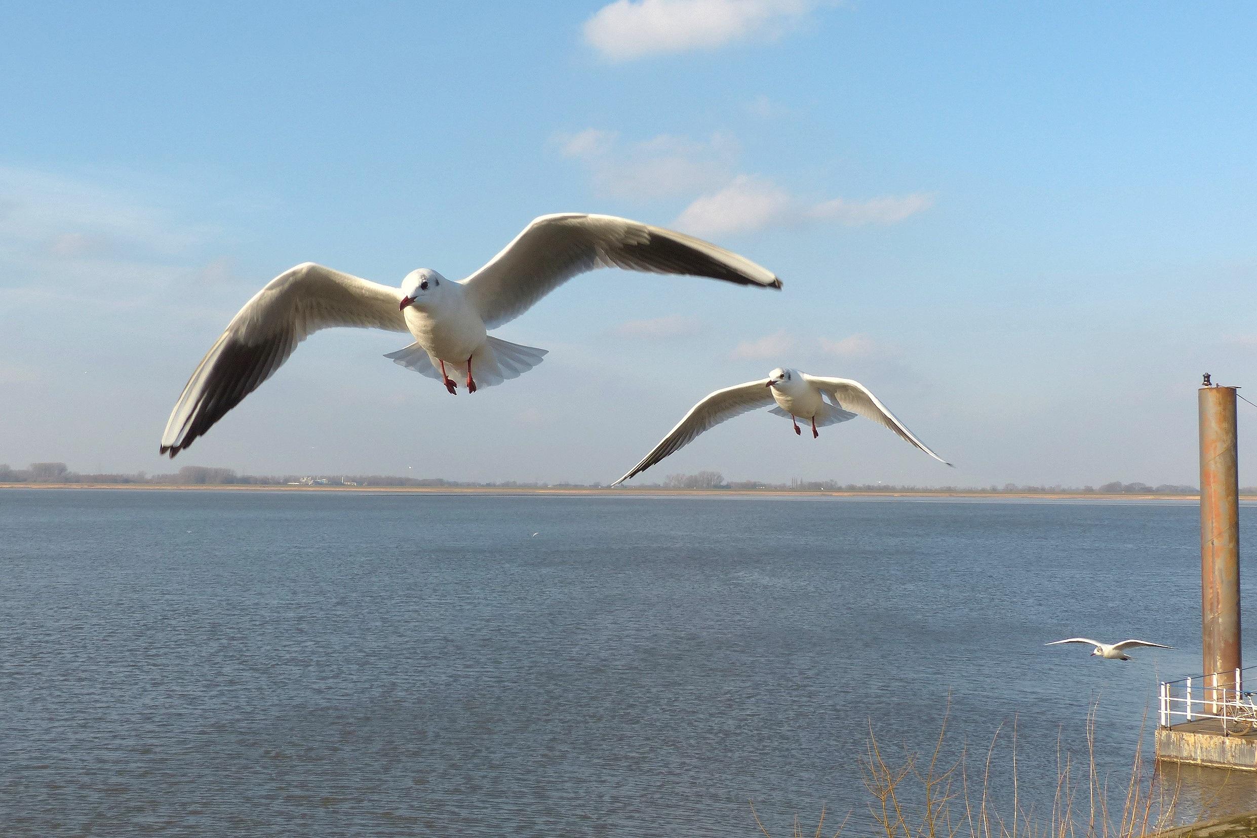 фото морских чаек в полете начинки- шапочки для