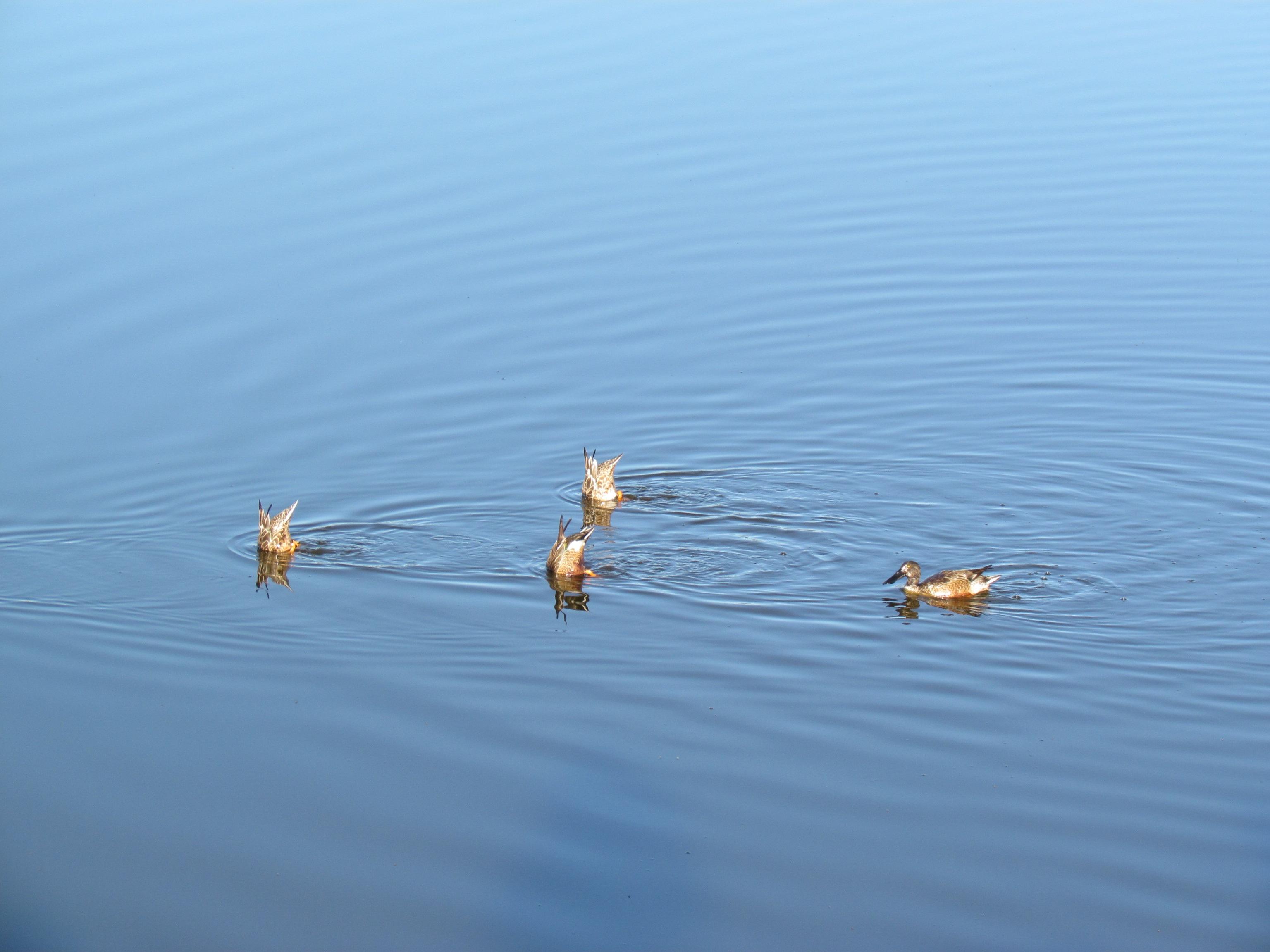 Картинка утка рыбалка