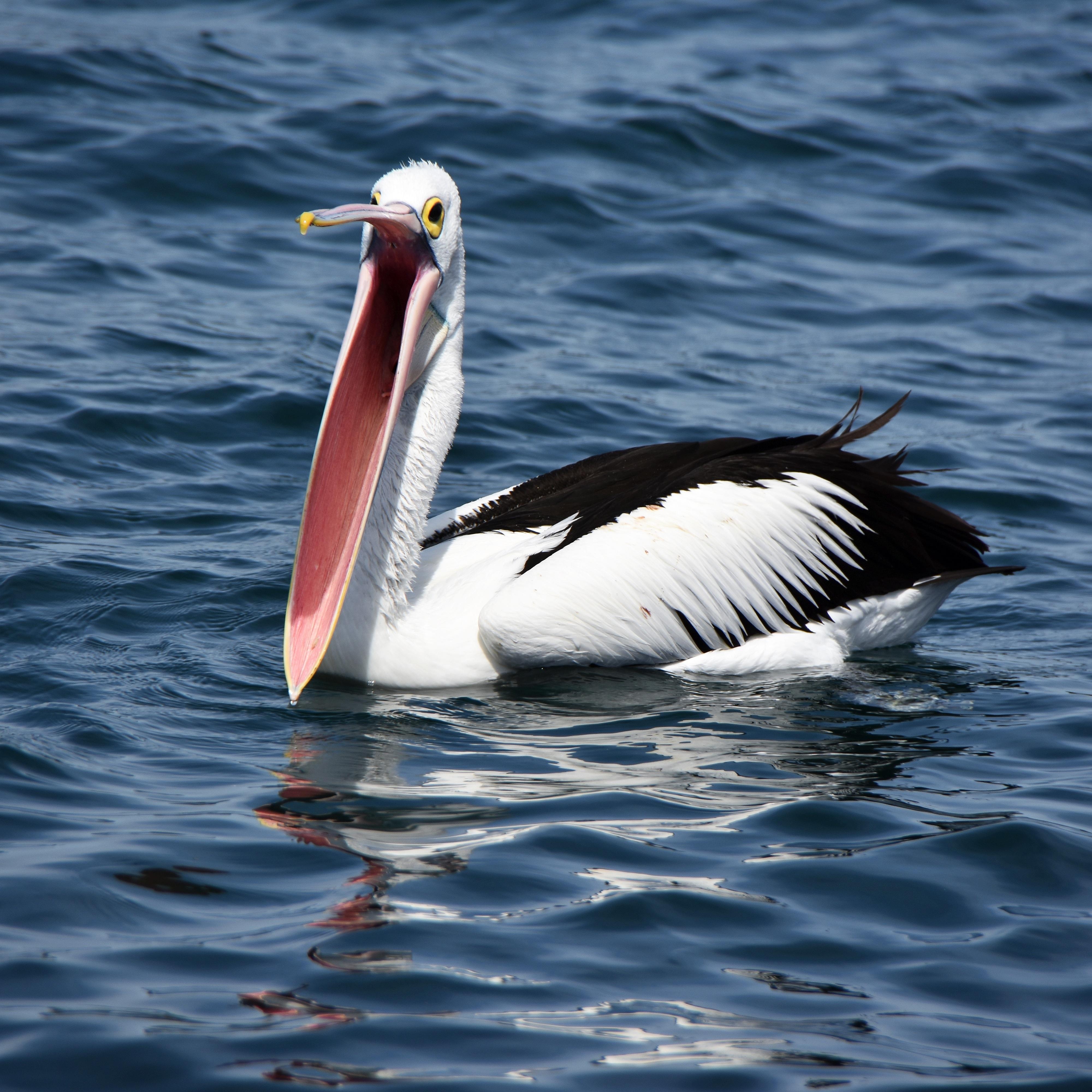 pelicans - HD1200×1200