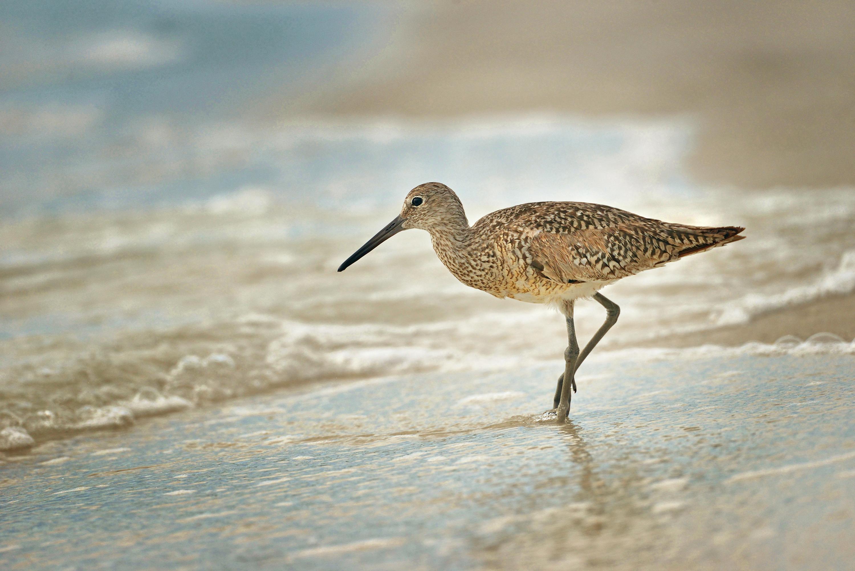 виртуальная болотная птица кулик картинка скажу