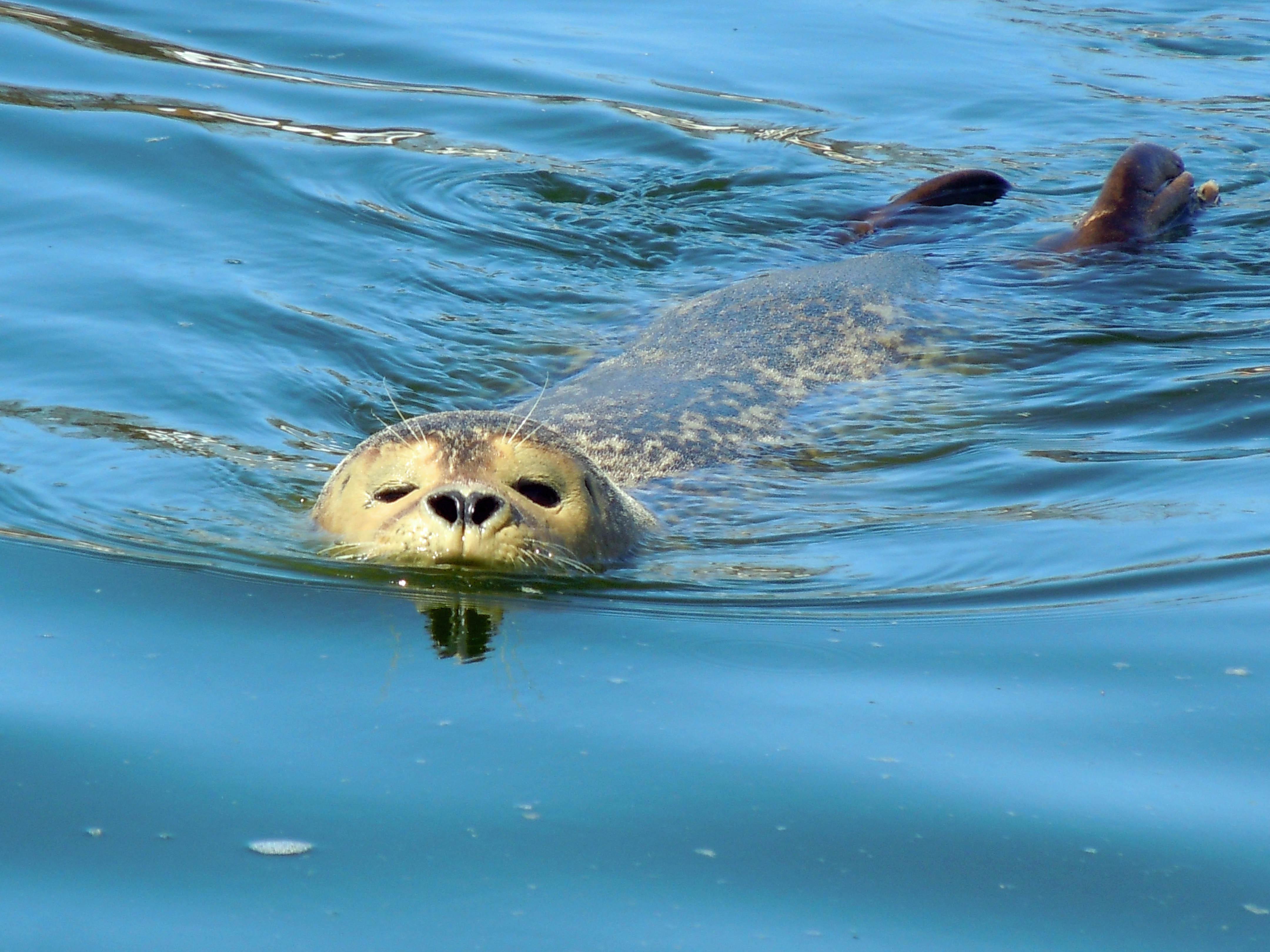 тюлень плавает картинка раньше был