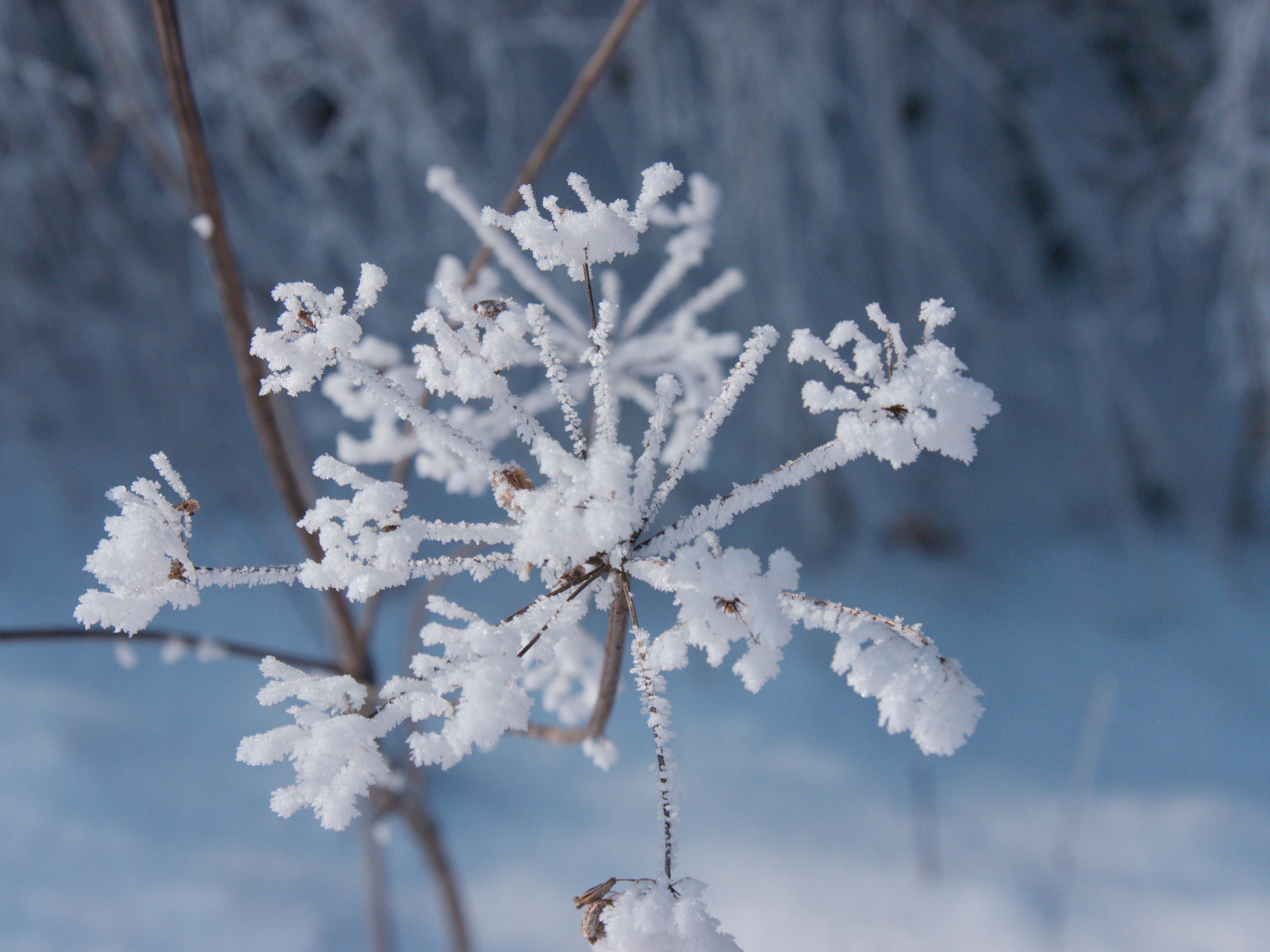 Free Images Sheep Gift Hemlock Plant Ice Flowers