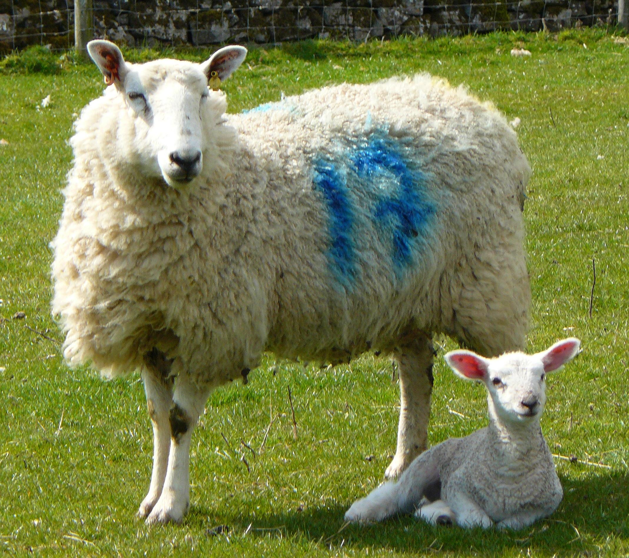 Картинки овечки фото