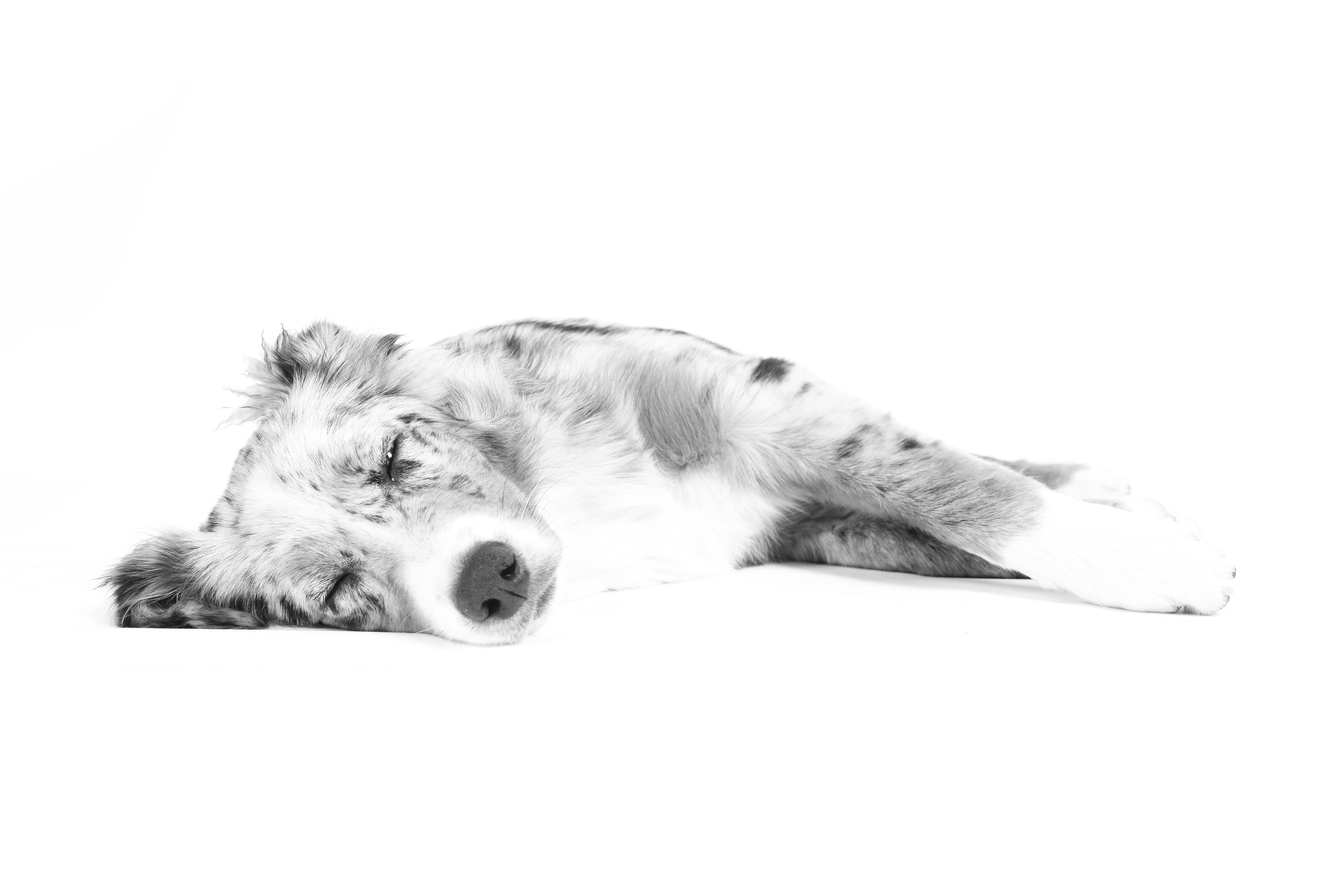 Gambar Sepatu Hitam Dan Putih Anjing Bulu Bersantai Tidur