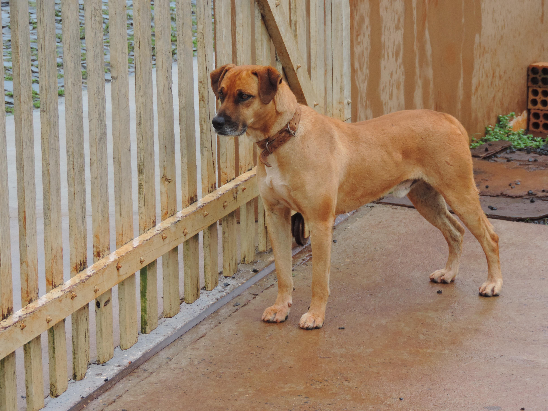 Beautiful Boerboel Black Adorable Dog - sidewalk-dog-mammal-vertebrate-dog-breed-about-rhodesian-ridgeback-animal-shelter-brown-dog-boerboel-street-dog-dog-like-mammal-carnivoran-animal-sports-dog-crossbreeds-tosa-broholmer-932743  HD_555989  .jpg