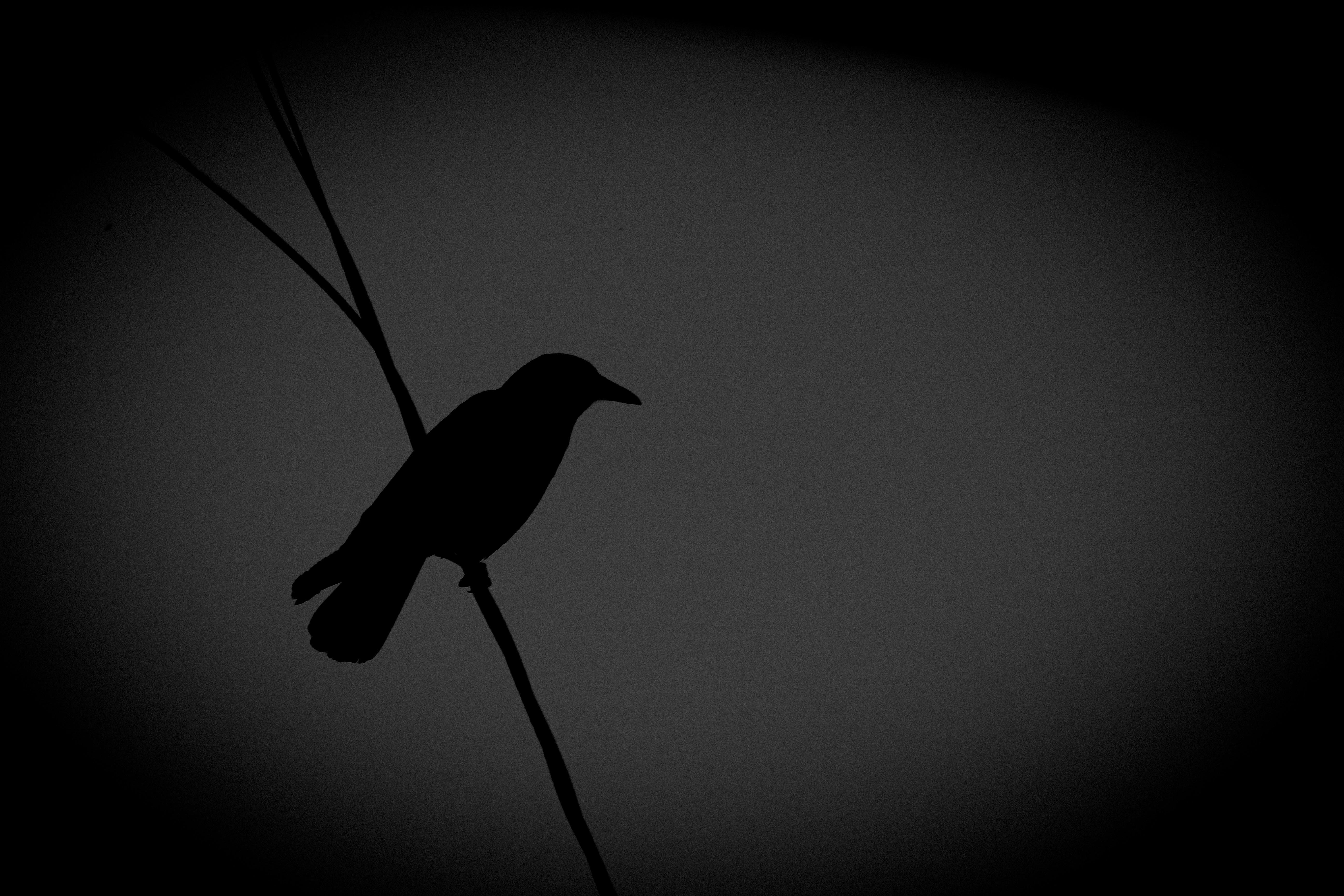 рассказано картинки черного ворона черно белые располагается